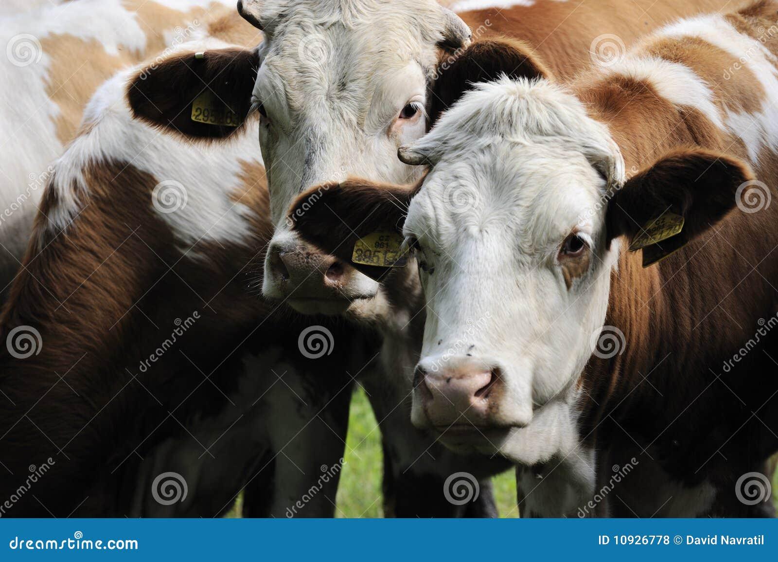 Pistas de la vaca