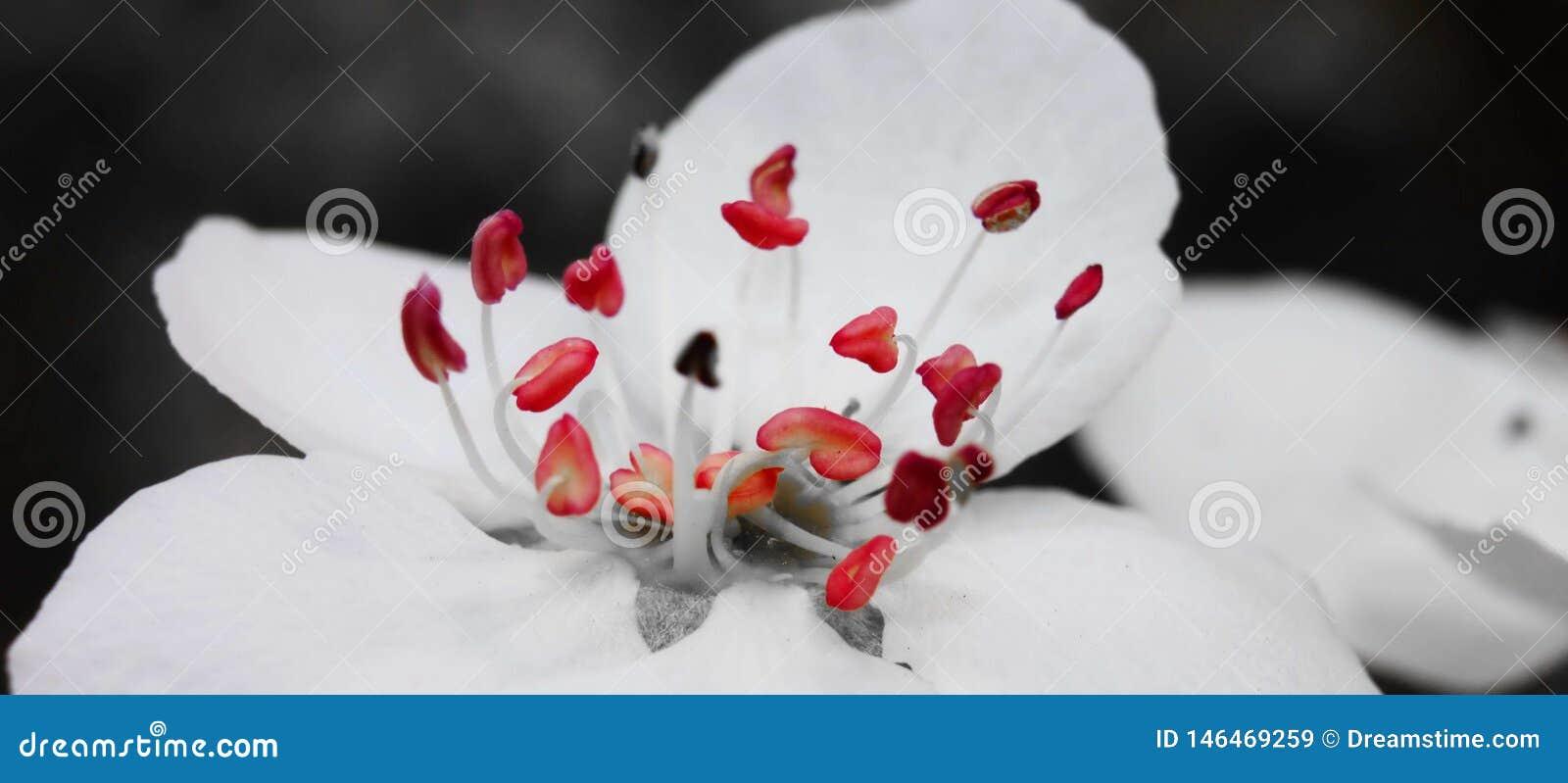 Pistil smoła bonkreta kwiat