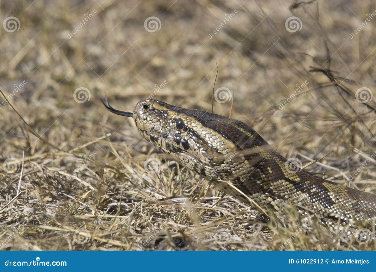 Pitón de roca africano (sebae de Python)