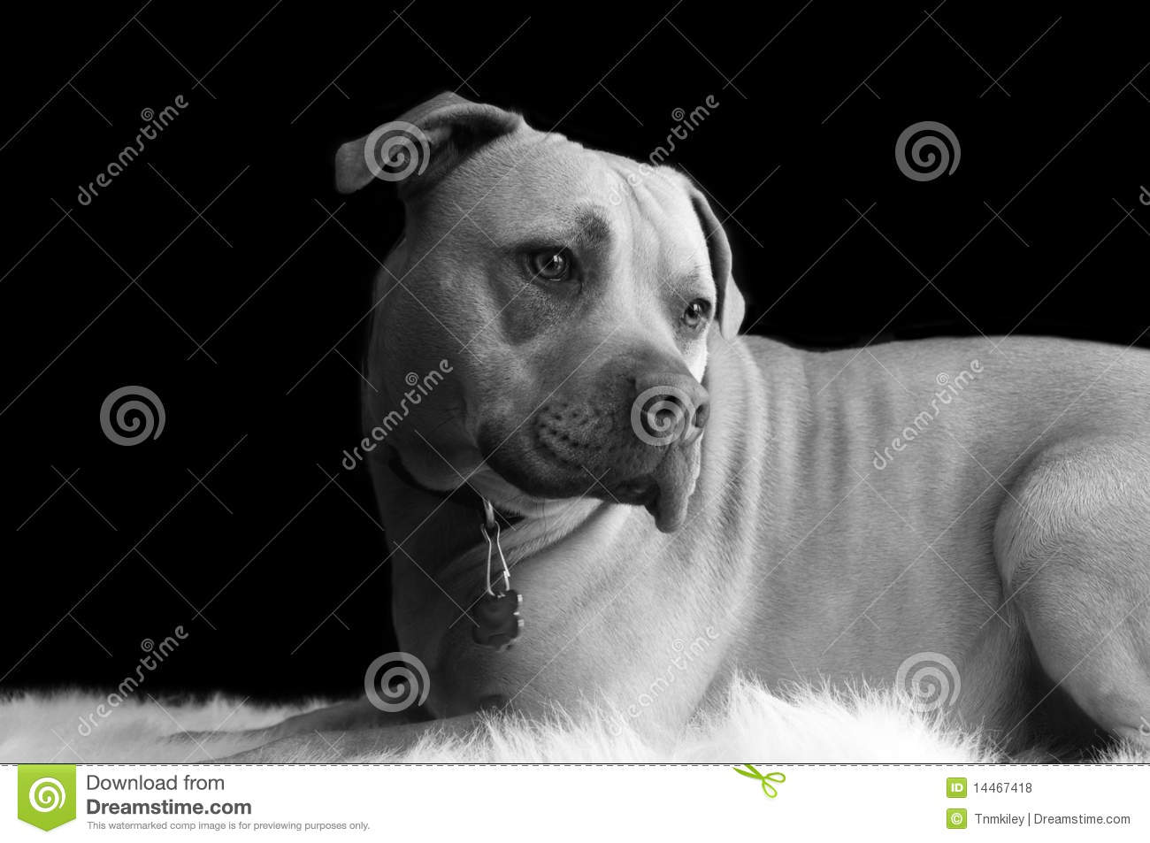 Pit Bull Black And White Royalty Free Stock Photos - Image: 14467418