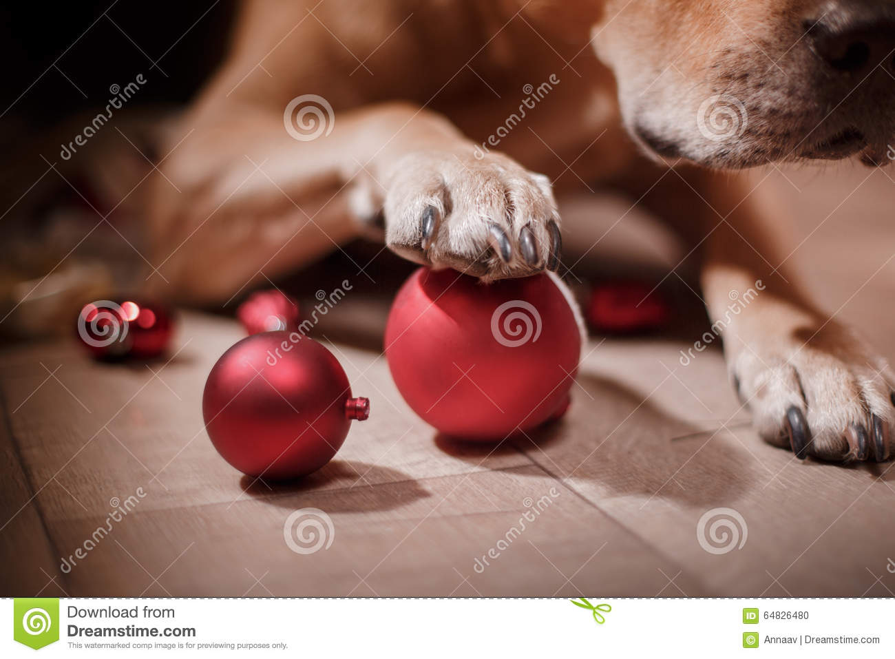 Pit Bull Dog, Christmas And New Year Stock Photo - Image ...