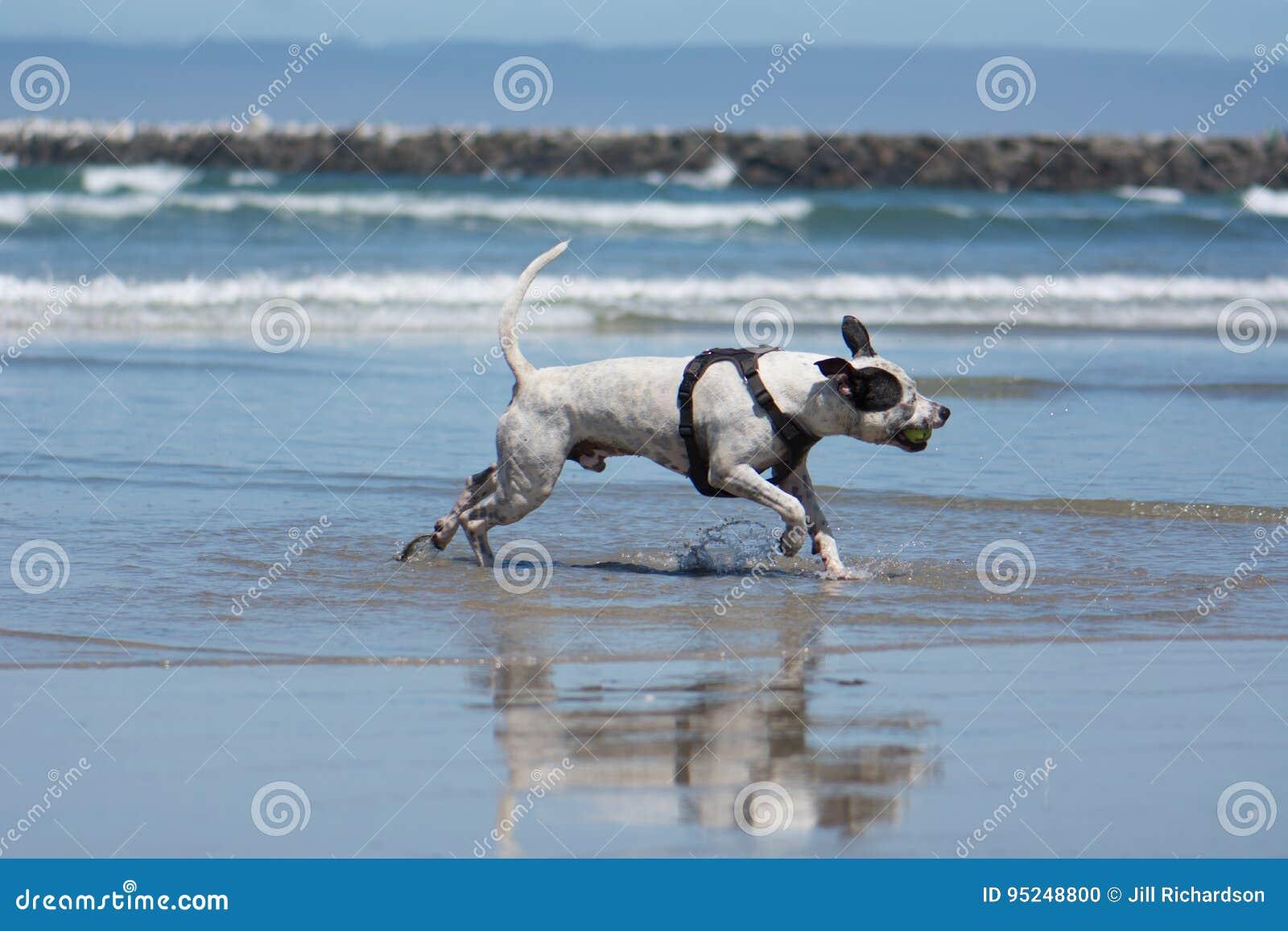 Pit Bull Dog Playing Fetch in Ocean. San Diego Dog Beach