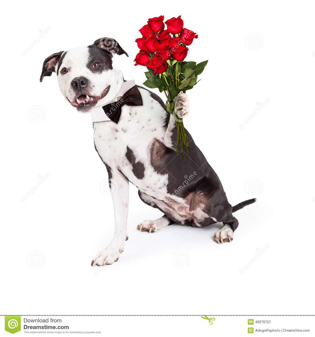 Pit Bull Dog With Red Roses Stock Image Image 49276157