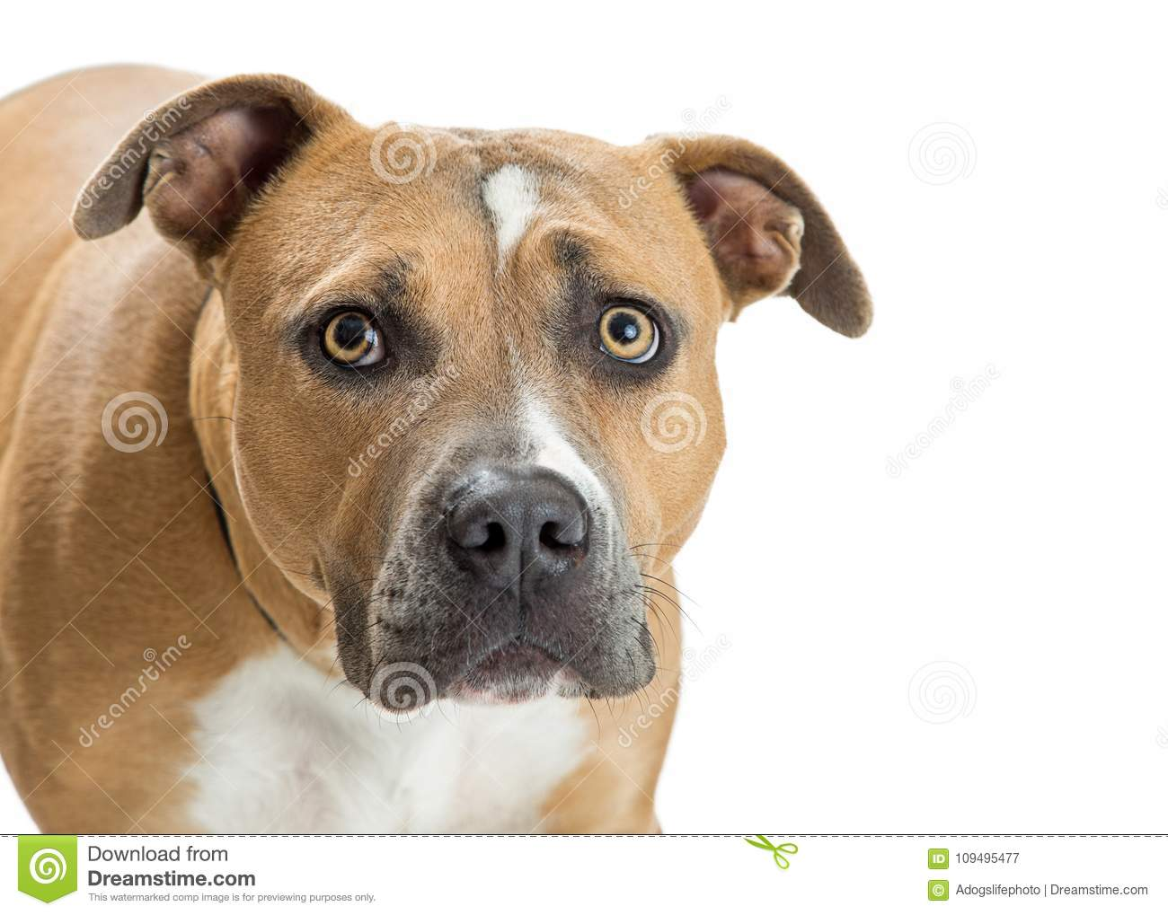 Pit Bull Dog With Scared-Uitdrukking