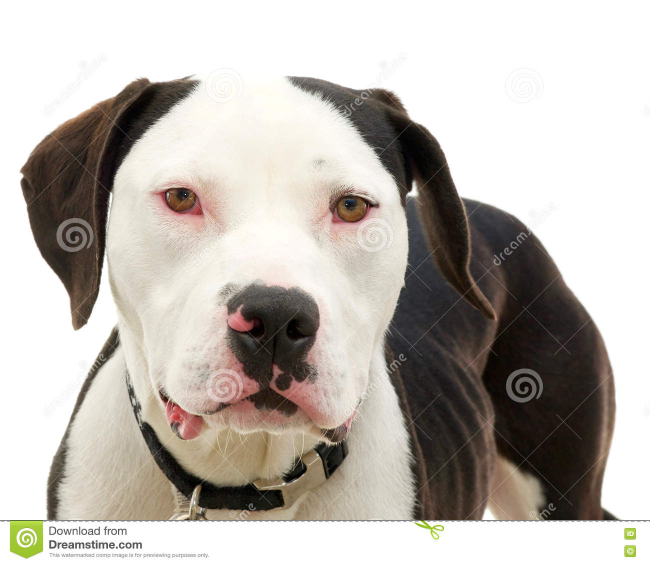 Pit bull isolated on white