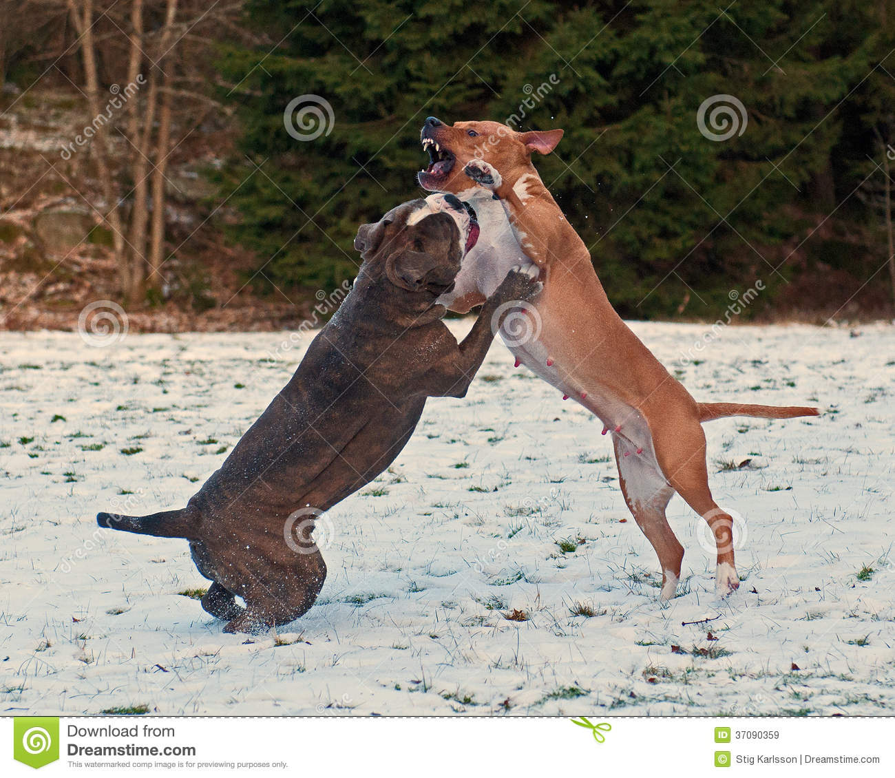 Pitbull Play Fighting With Bulldog In The Snow Royalty