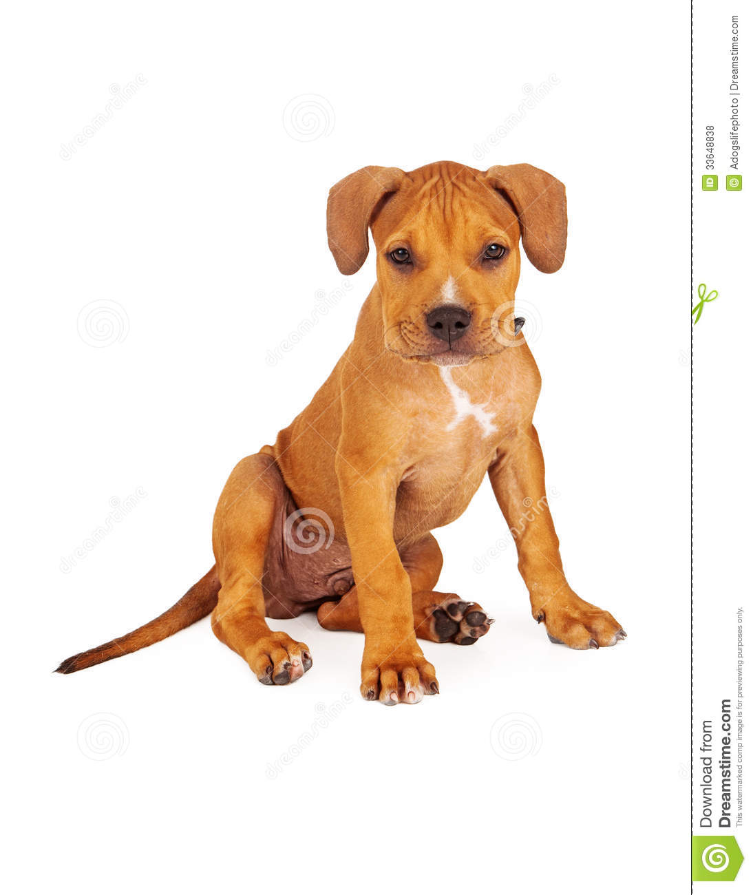 Pit Bull Puppy Fawn Color stock photo  Image of young - 33648838
