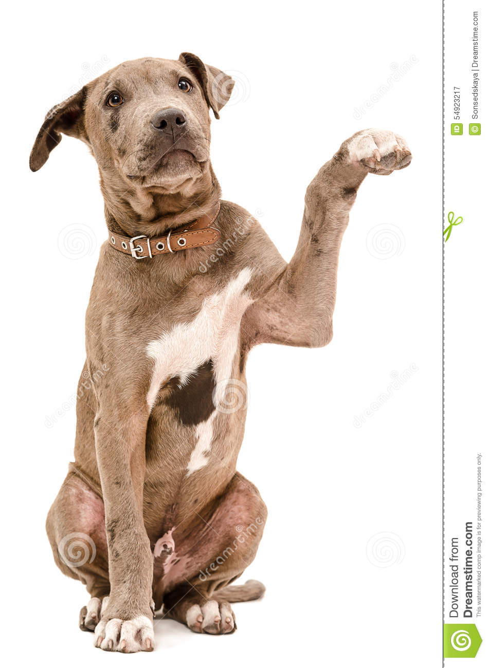 Pit Bull Puppy Sitting With A Raised Paw Stock Photo