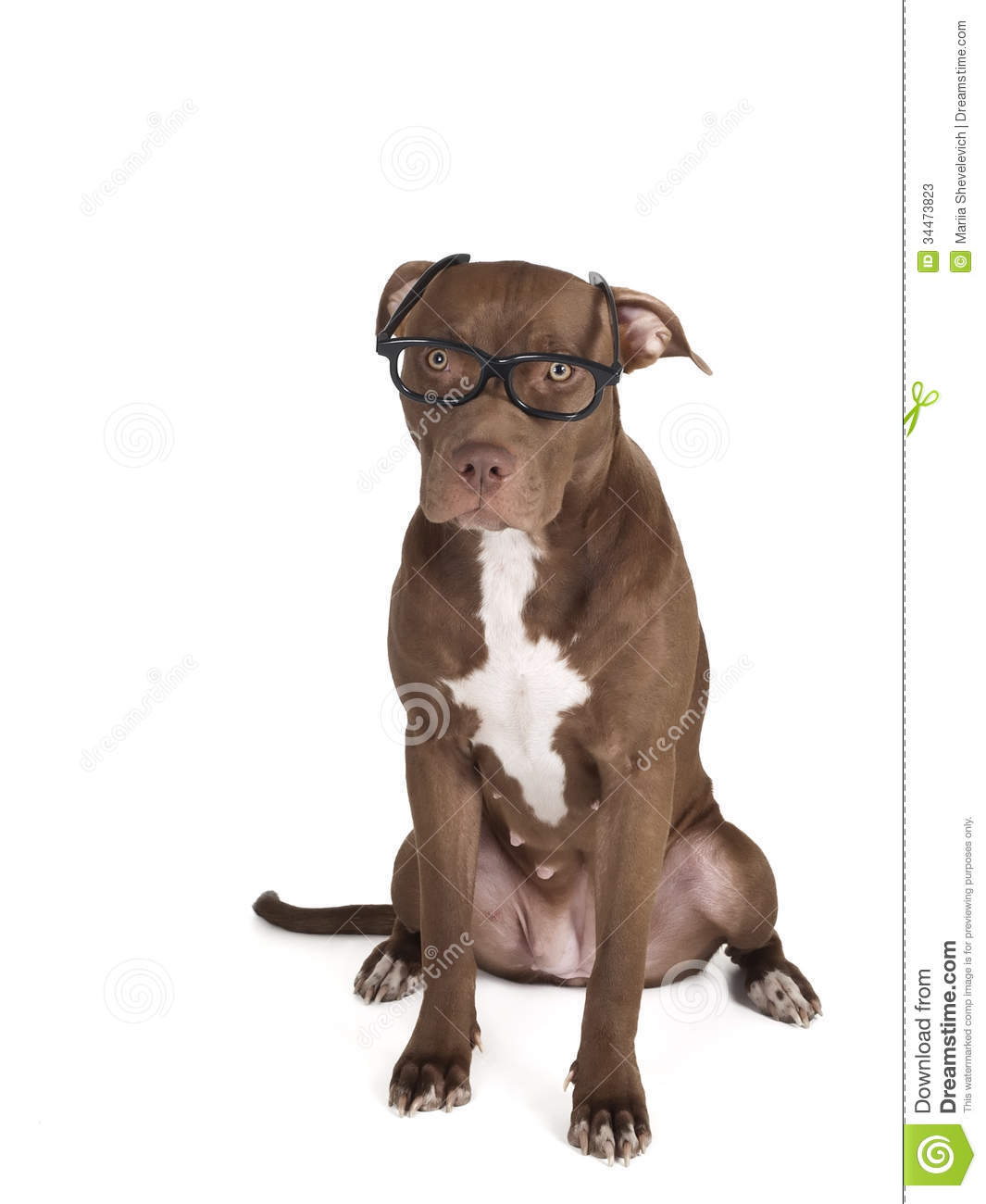 Pit bull sits in black glasses on a white background.