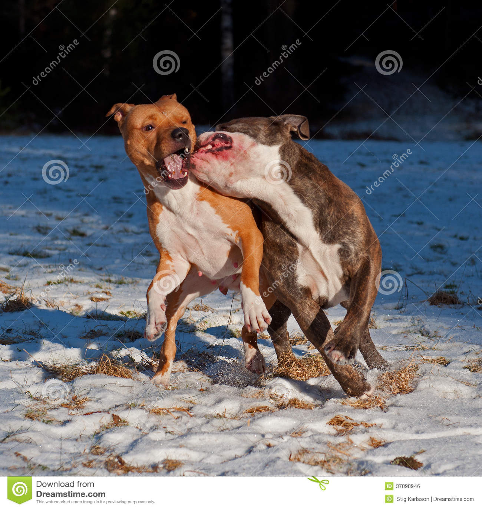 Download Pit Bull Sztuki Bój Z O.E. Buldog Zdjęcie Stock - Obraz złożonej z mięśnie, target120: 37090946