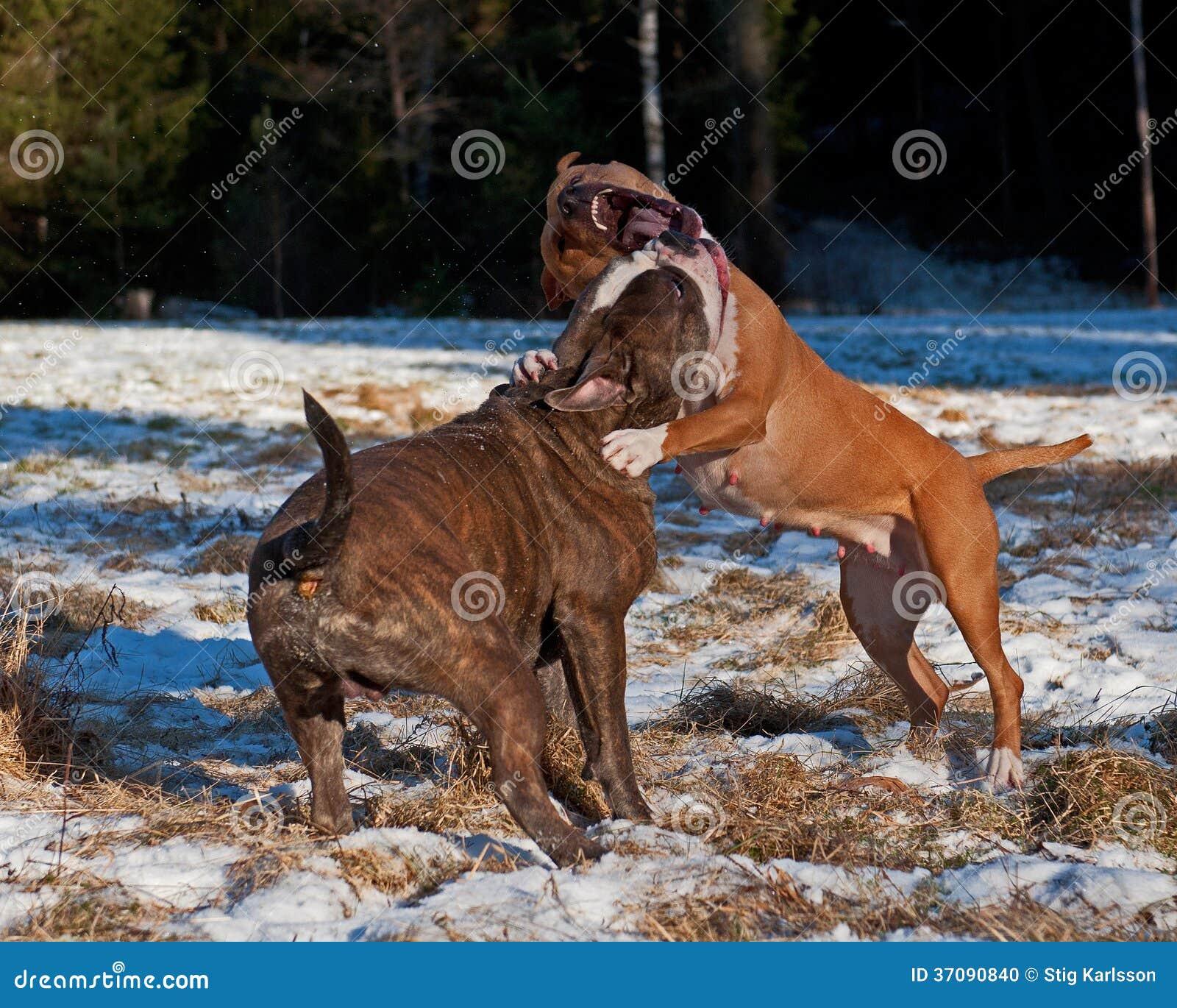 Download Pit Bull Sztuki Bój Z Olde Angielszczyzn Buldogiem Zdjęcie Stock - Obraz złożonej z oczy, target160: 37090840