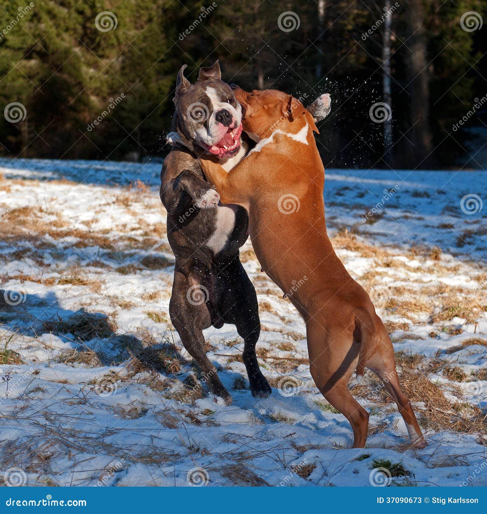 Download Pit Bull Sztuki Walcząca Pozycja Z Buldogiem Obraz Stock - Obraz złożonej z usta, jama: 37090673
