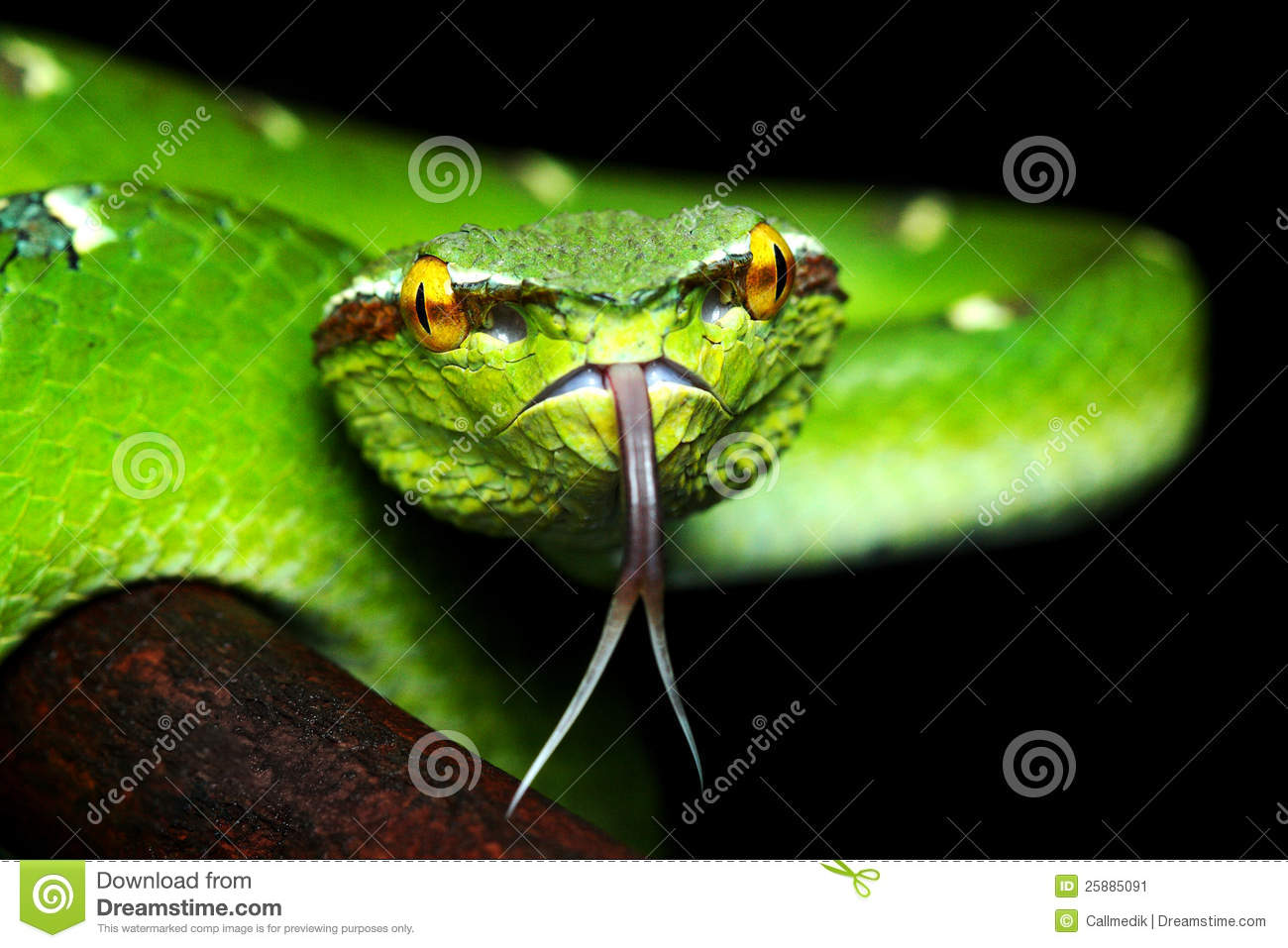 Pit Viper Stock Image - Image: 25885091