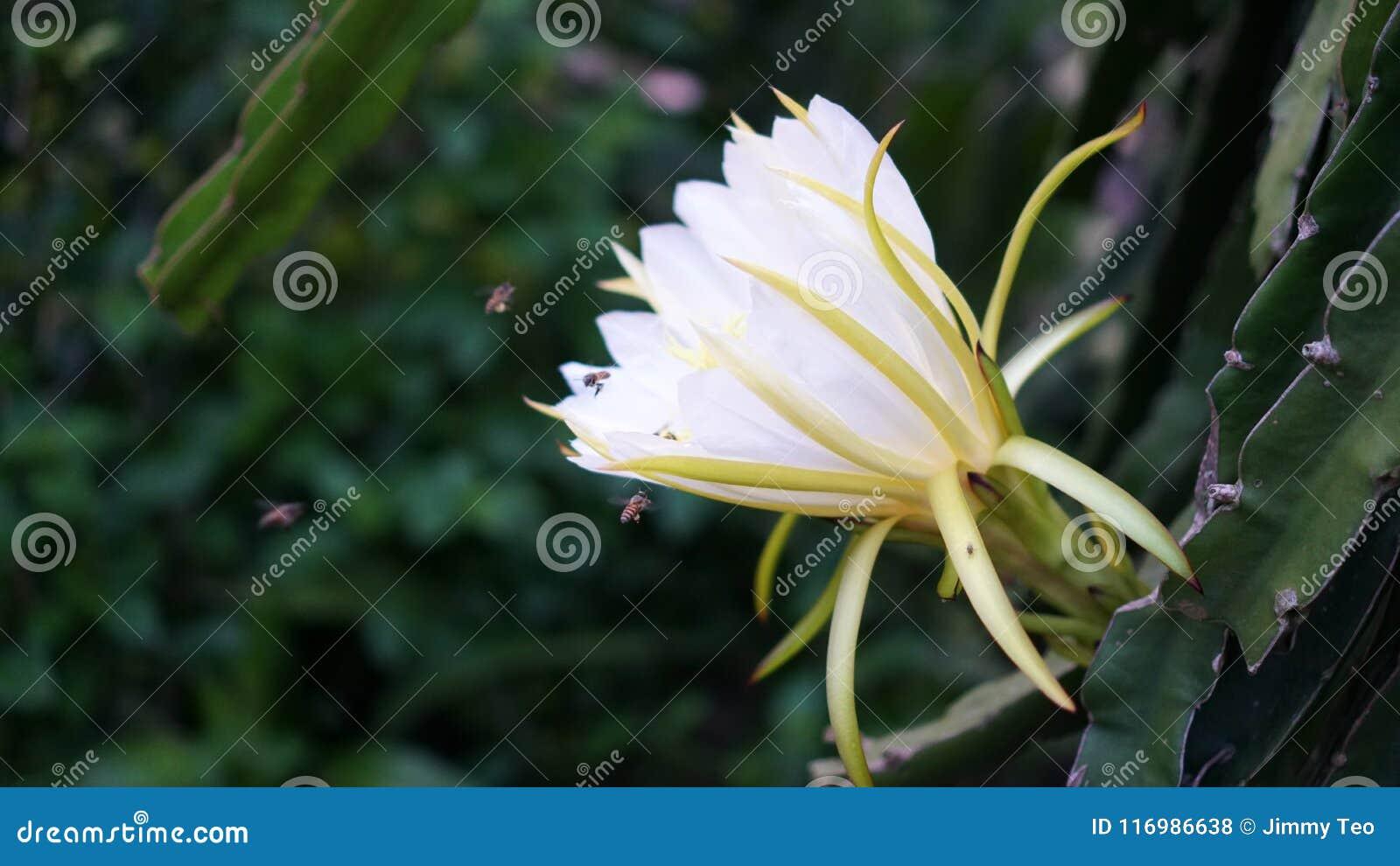 Pitahaya flower Dragon Fruit - Tam Binh Vinh Long Vietnam