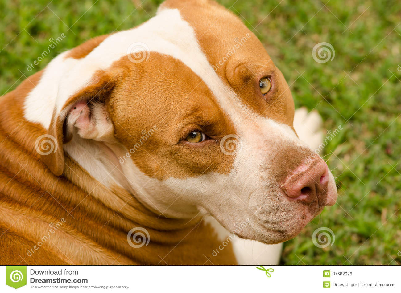 Pitbull dog look with shiny gold eyes with white and brown coat.