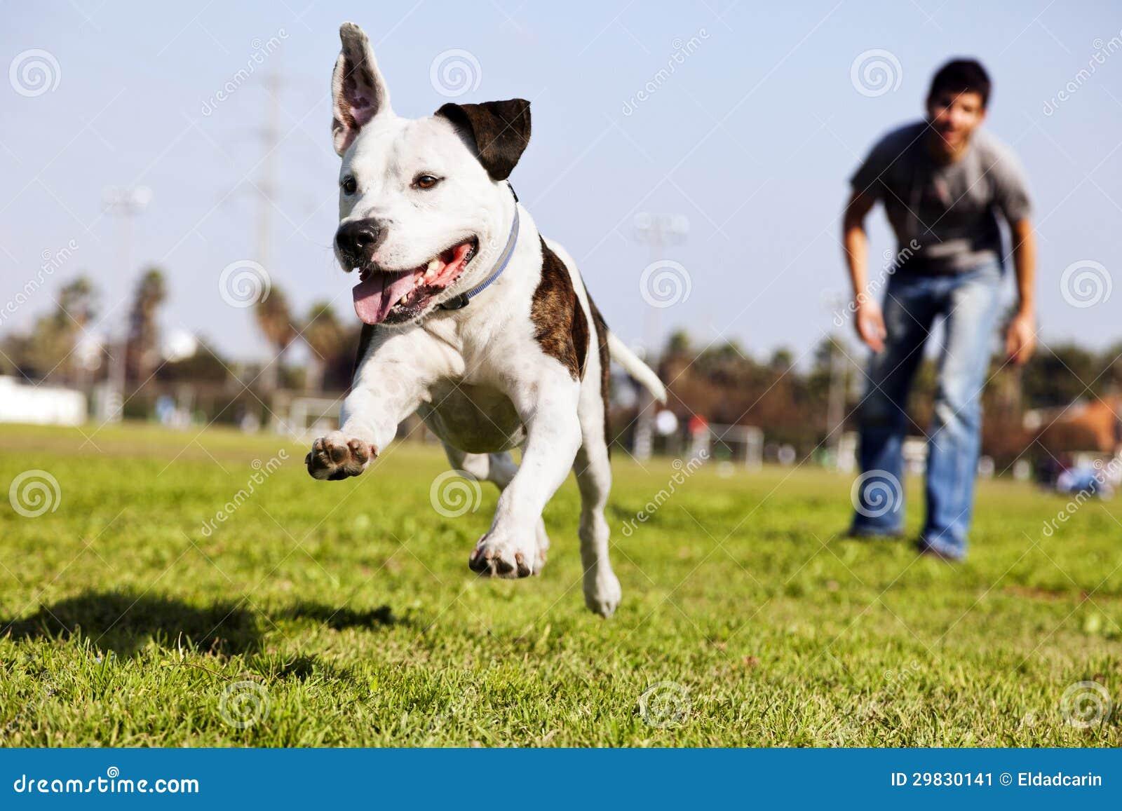 Mid-Air Running Pitbull Dog