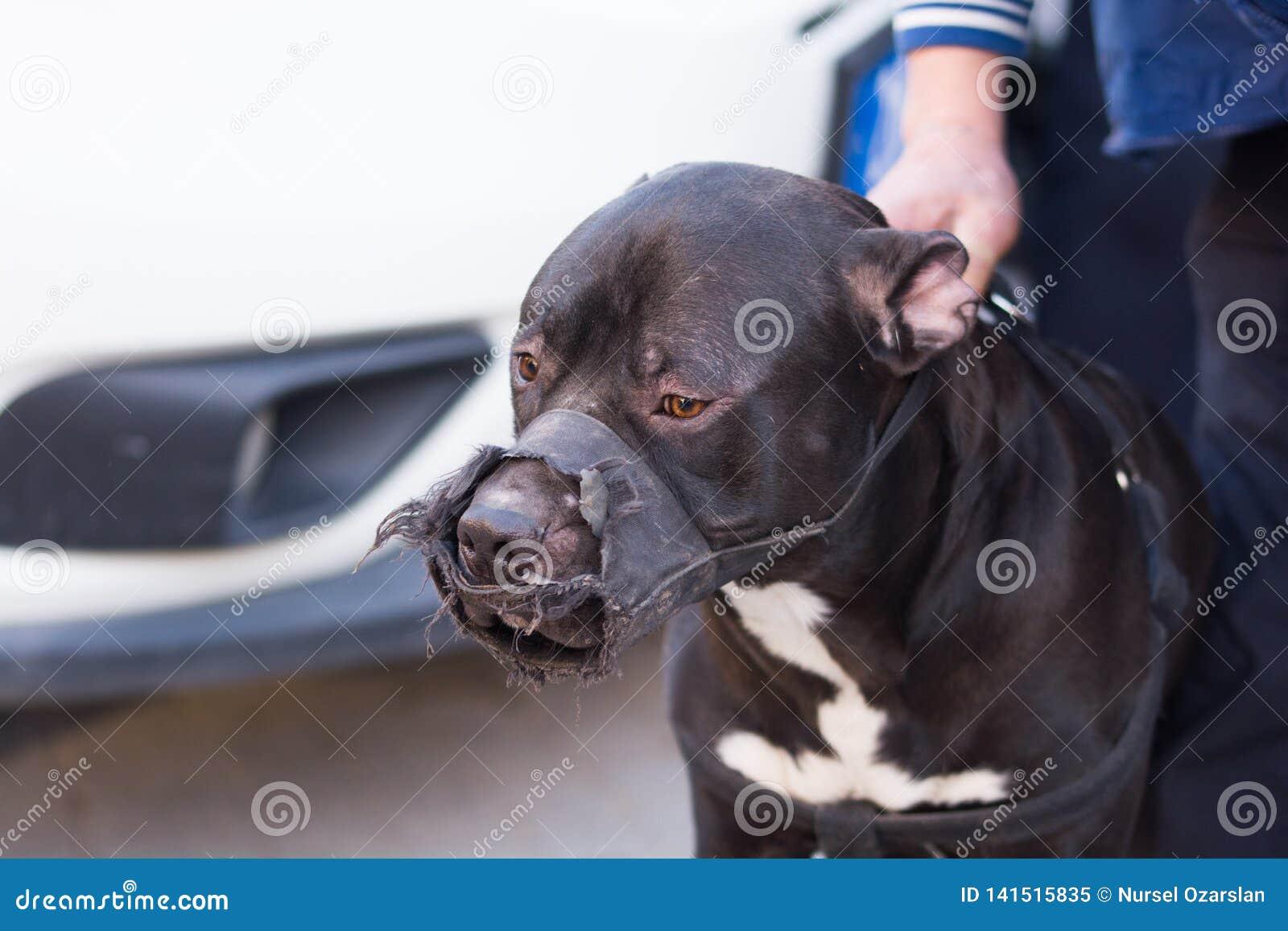 Pitbull dog stock image  Image of incision, dangerous