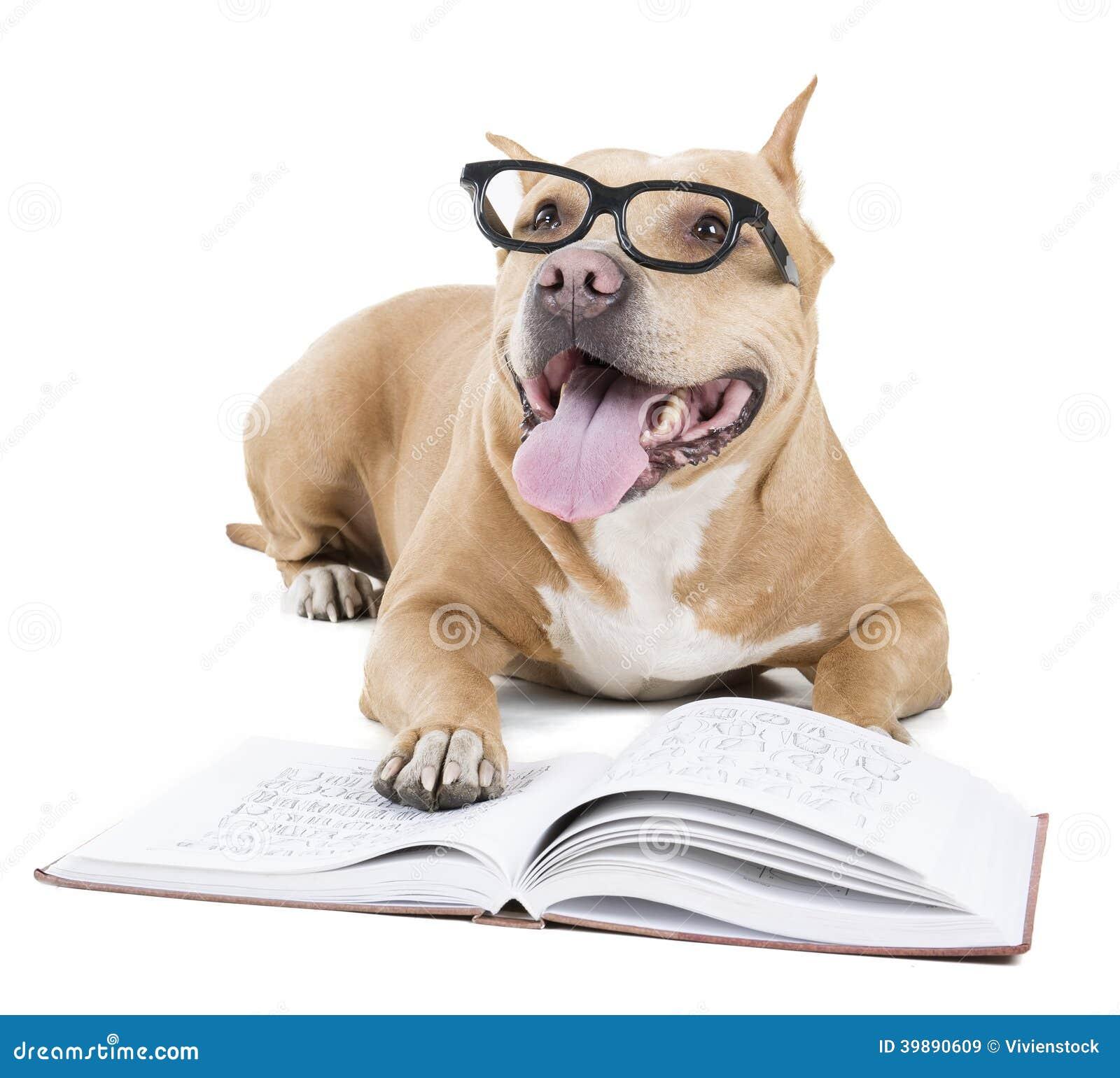 Pitbull in glasses
