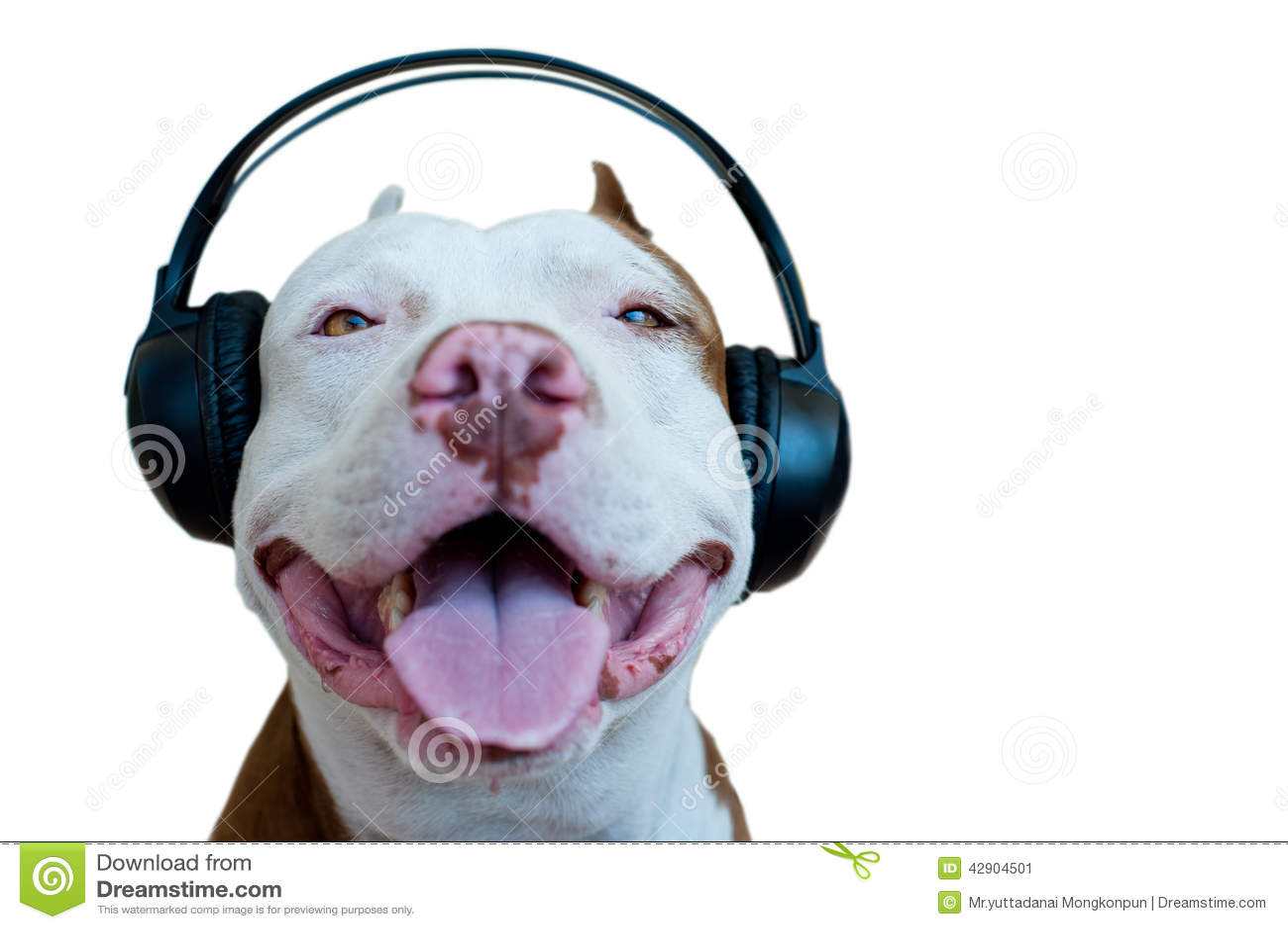 Pitbull With Headphone Stock Image Image Of Headphones