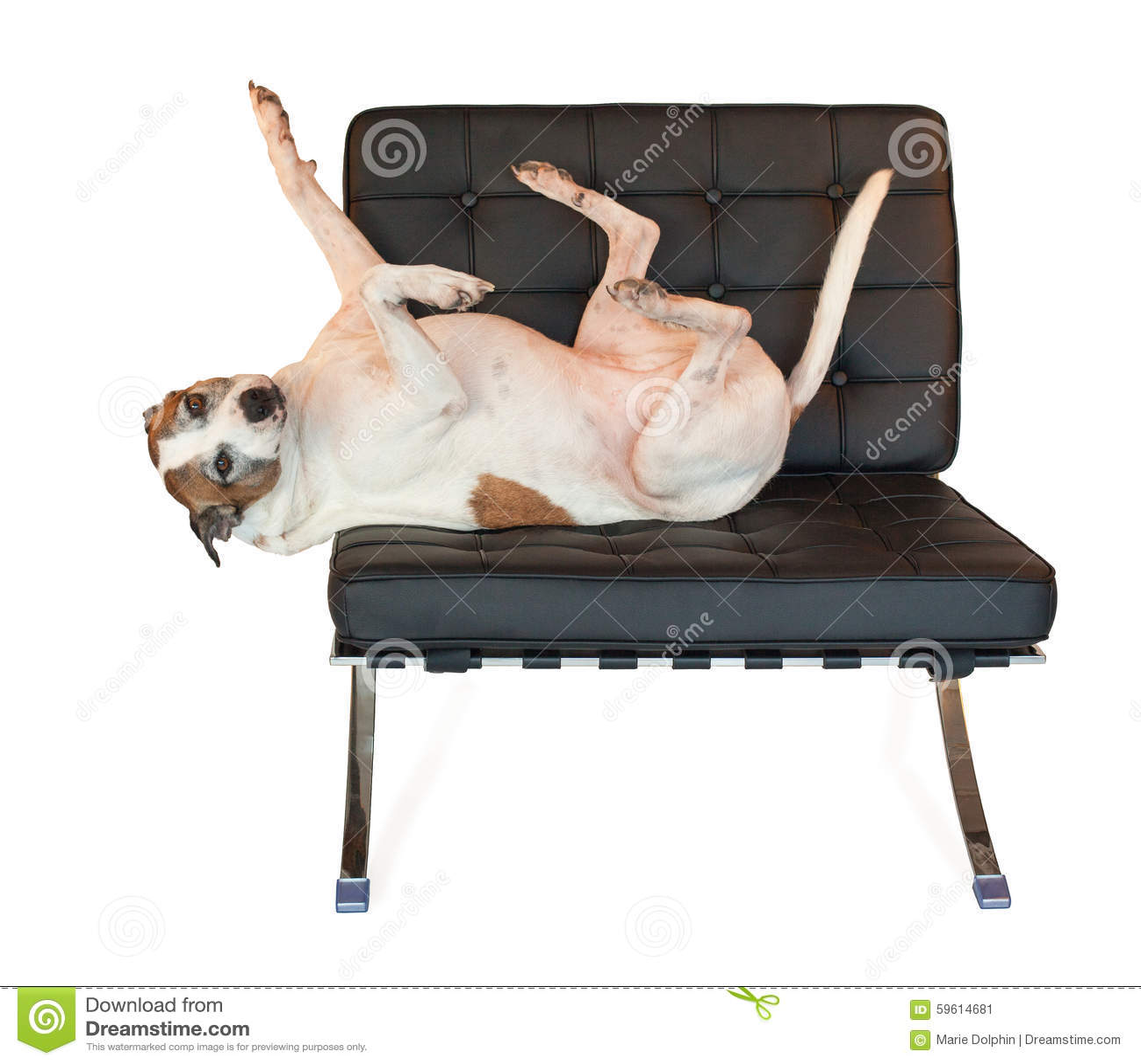 Lieblich Pitbull Hund Auf Modernem Barcelona Stuhl Der Mitte Des Jahrhunderts