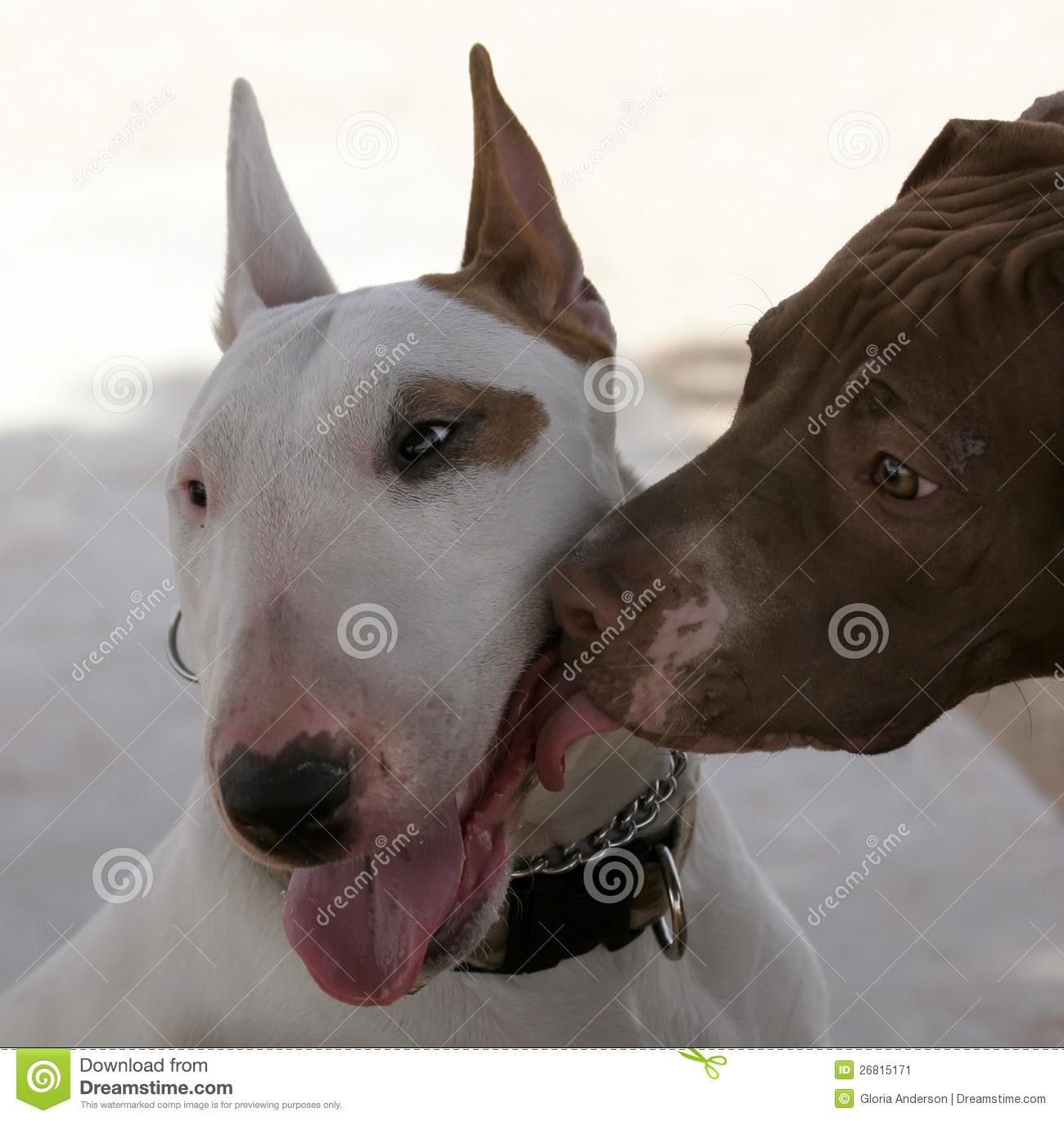 Pitbull Kissing A Bull Terrier Stock Image - Image: 26815171