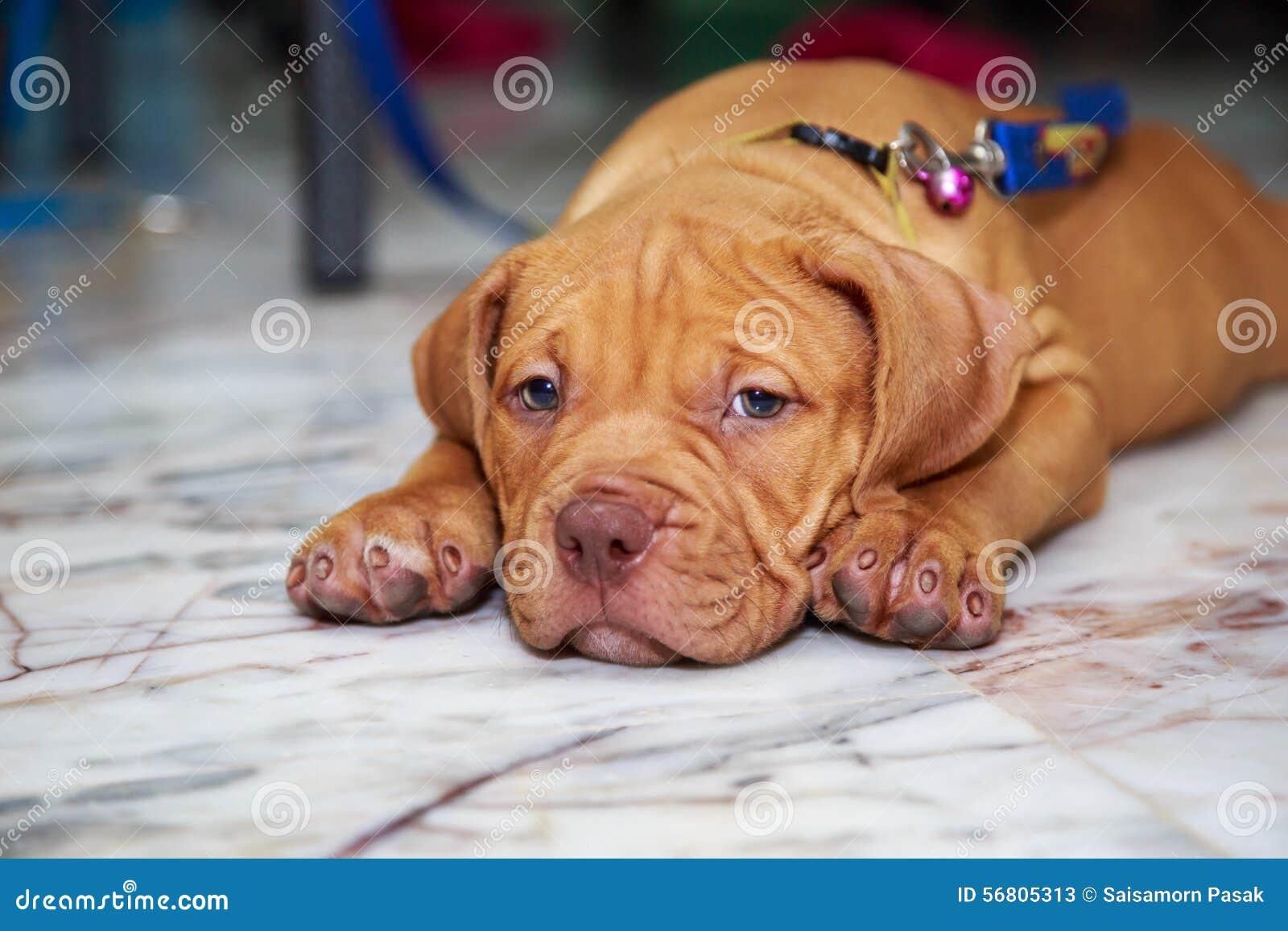Pitbull lindo del perro soñoliento