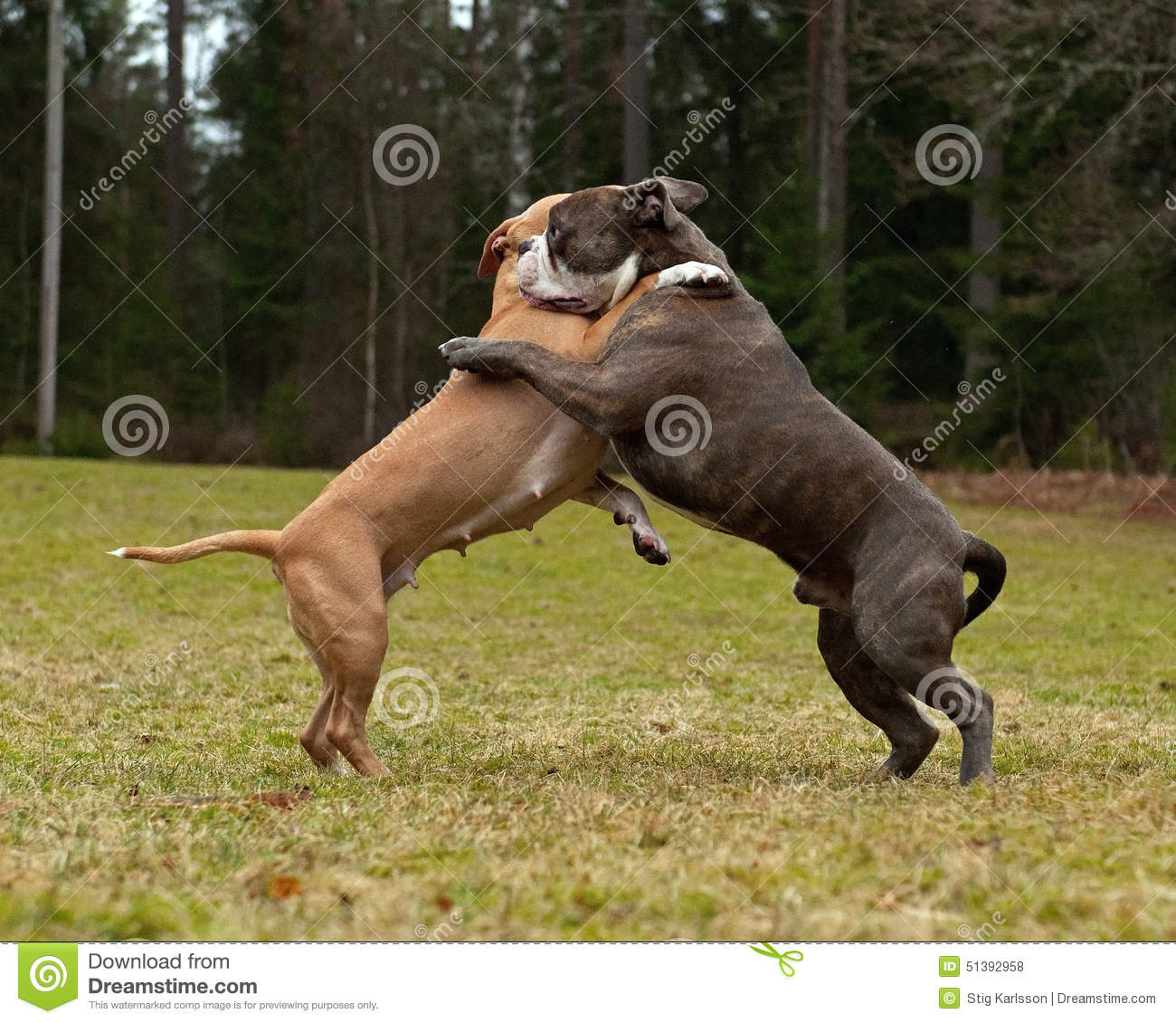 Pitbull Dog Fight Video Download