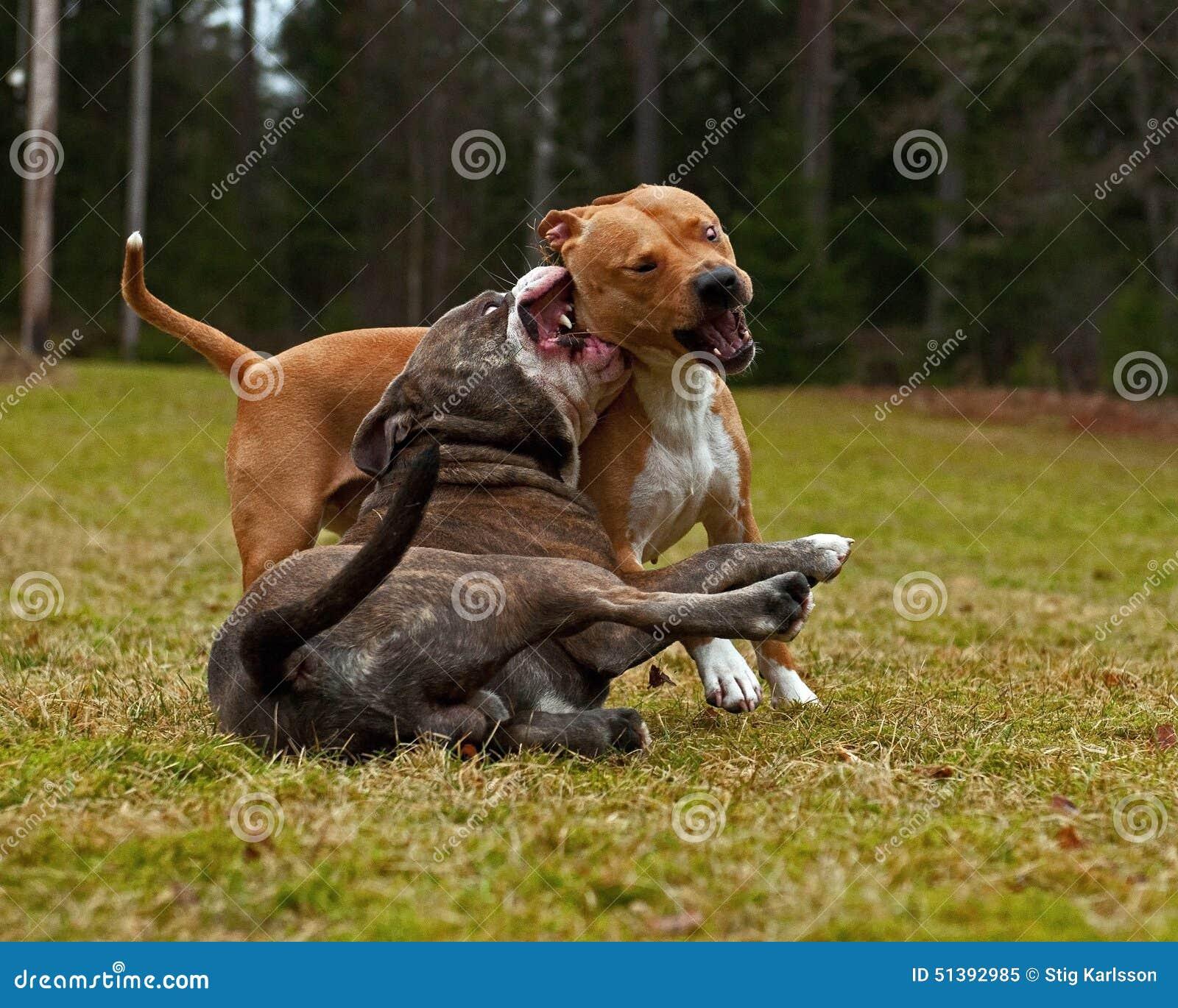 Pitbull Dog Fight Video Download