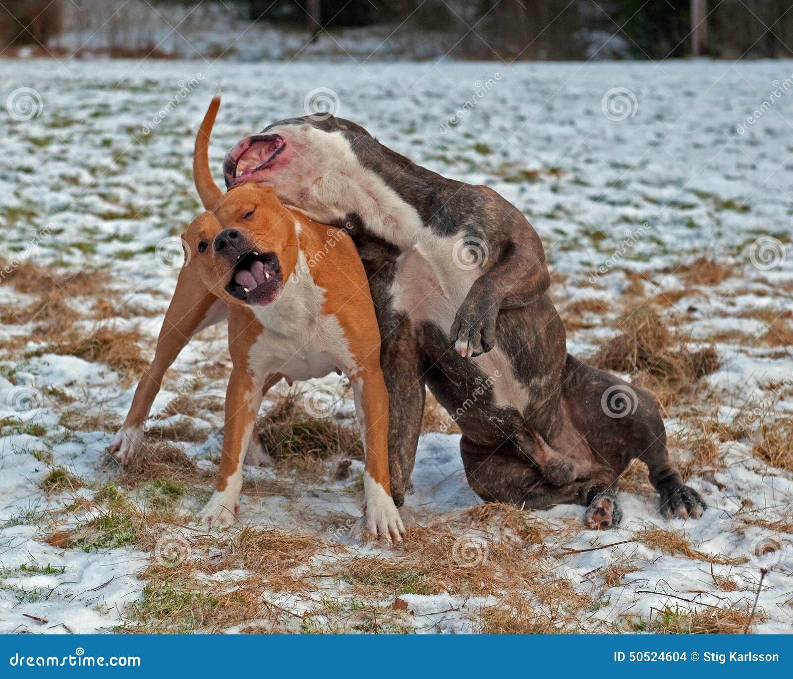 Pitbull Play Fighting With Olde English Bulldog Stock