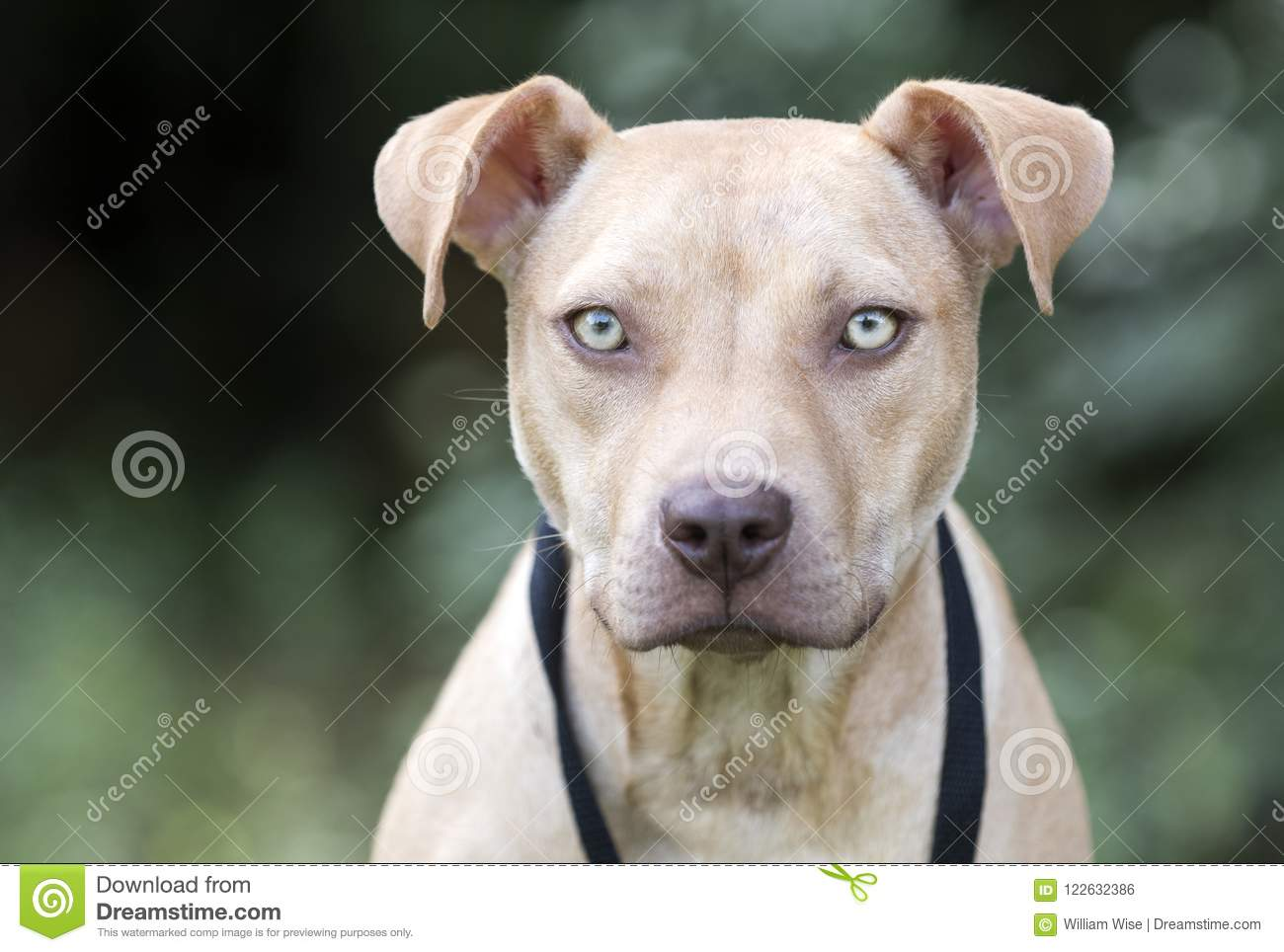 Pitbull Puppy Dog Adoption Portrait Stock Photo Image Of Named