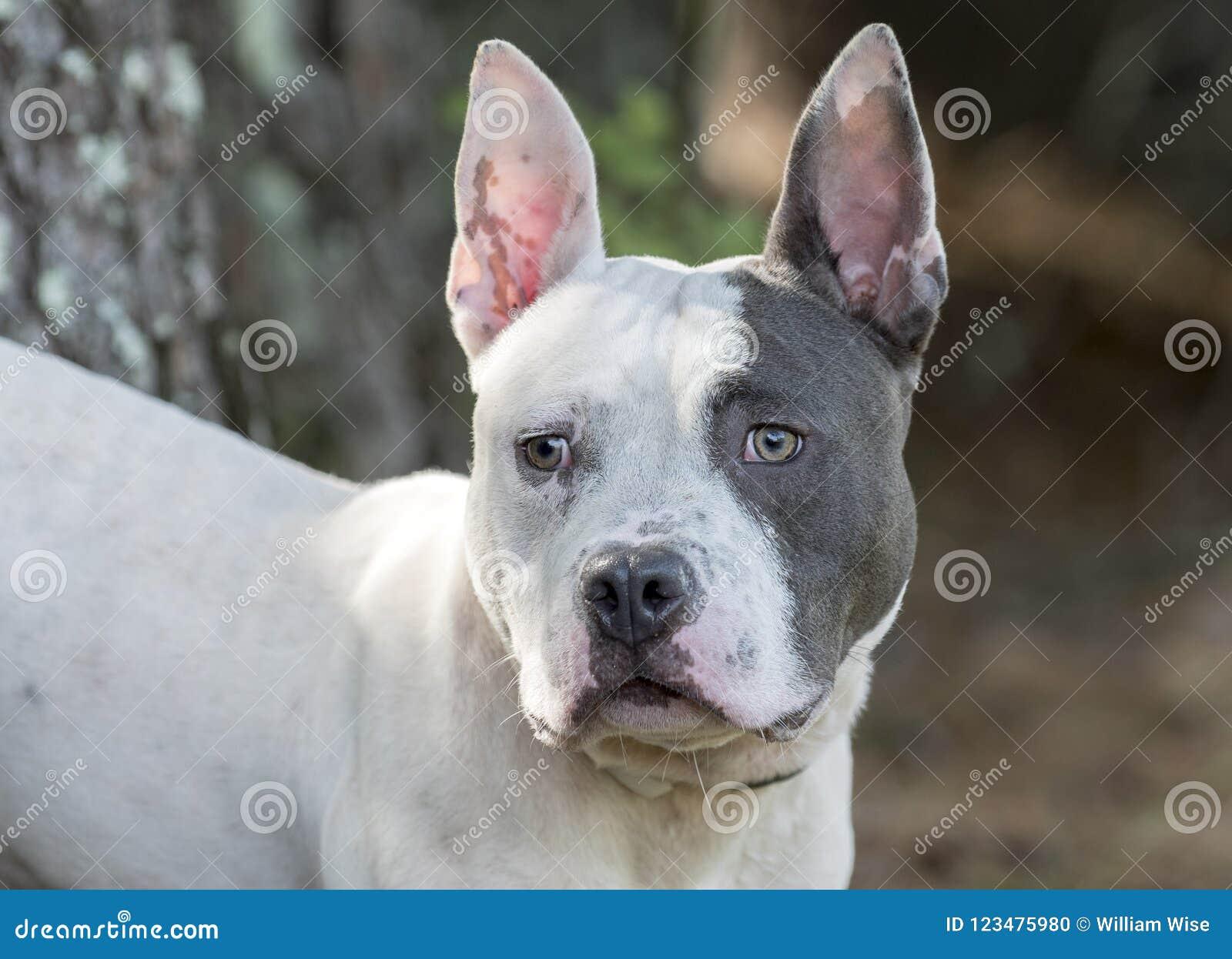 Pitbull Terrier And French Bulldog Mixed Breed Dog Stock Photo