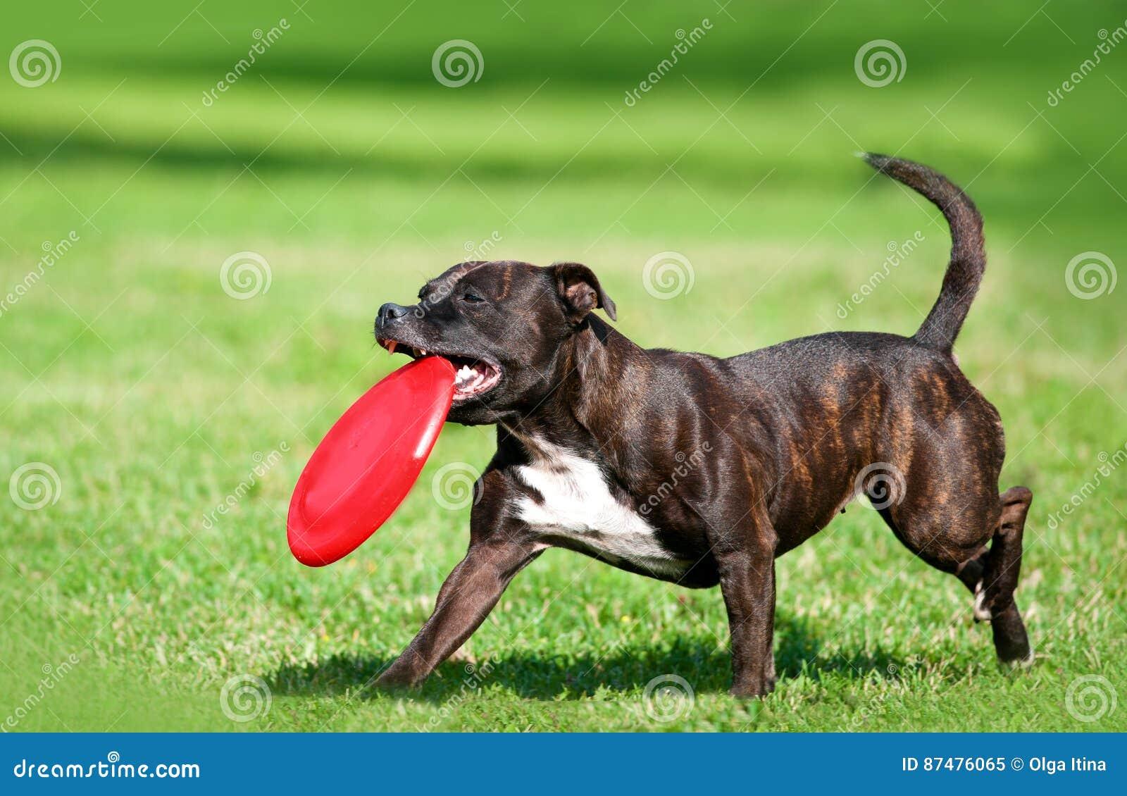 Pitbullterrier бежать через зеленый луг golding красный диск