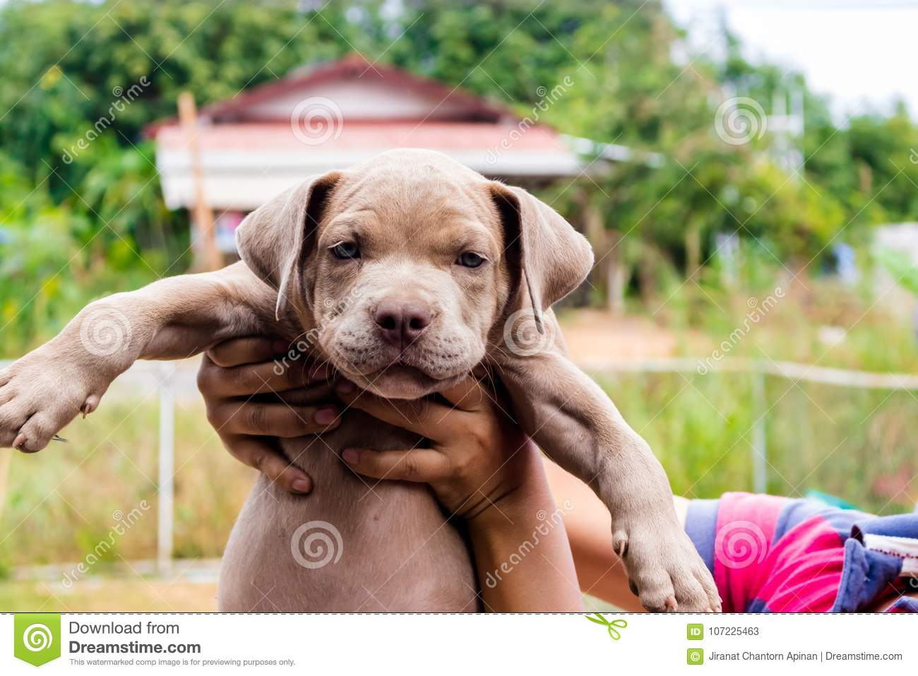 Pitiable Pit Bull Terrier Dog In The Cage Stock Image
