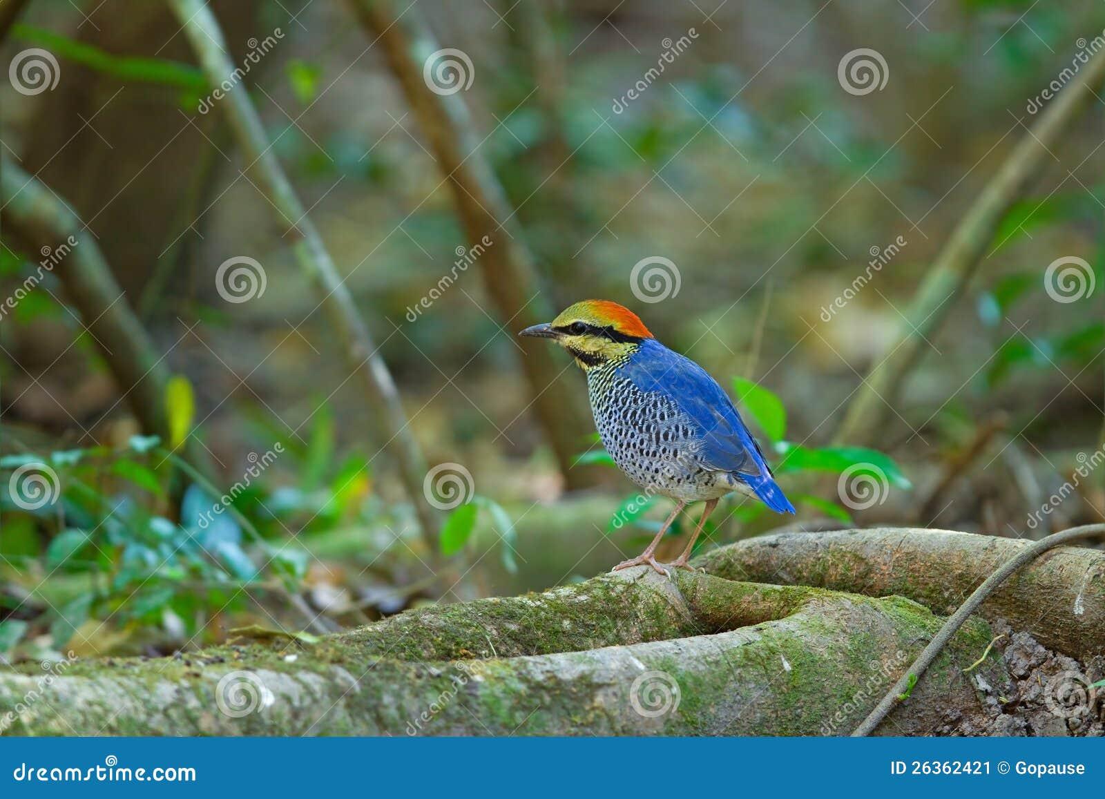 Pitta blu (maschio)