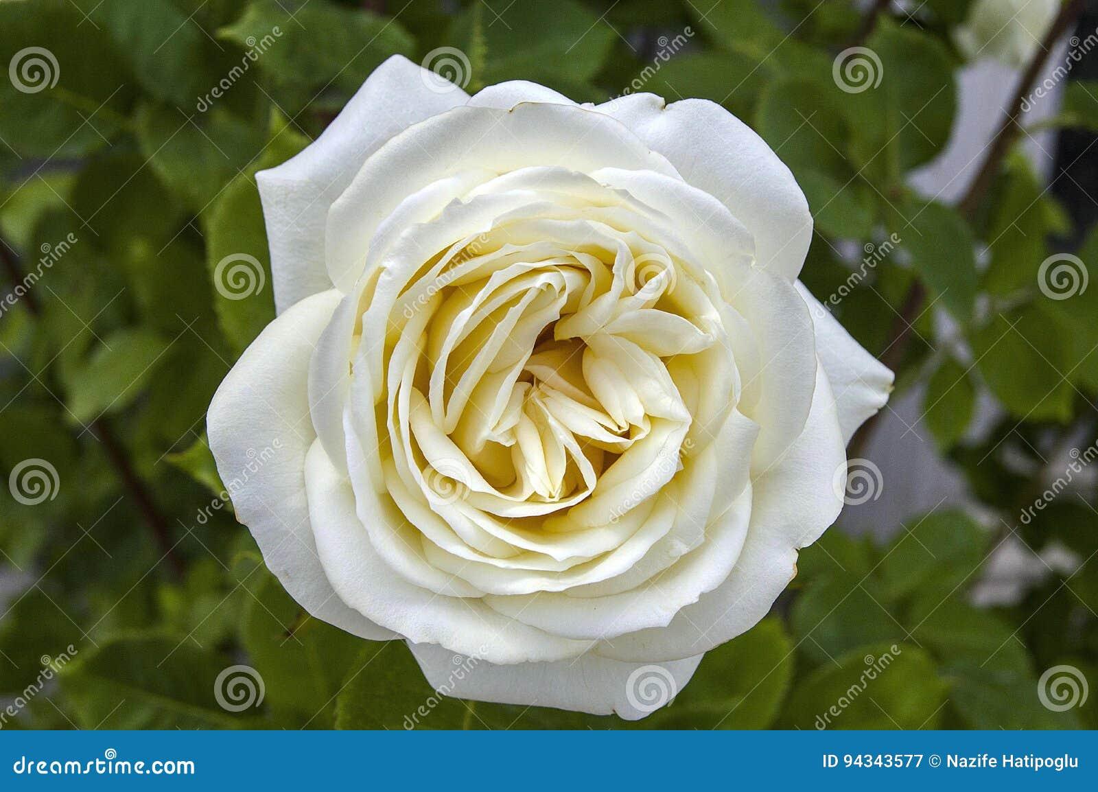 Pitture Di Rosa, Di Rose Colorate Di Colore, Rose Bianche Nel ...