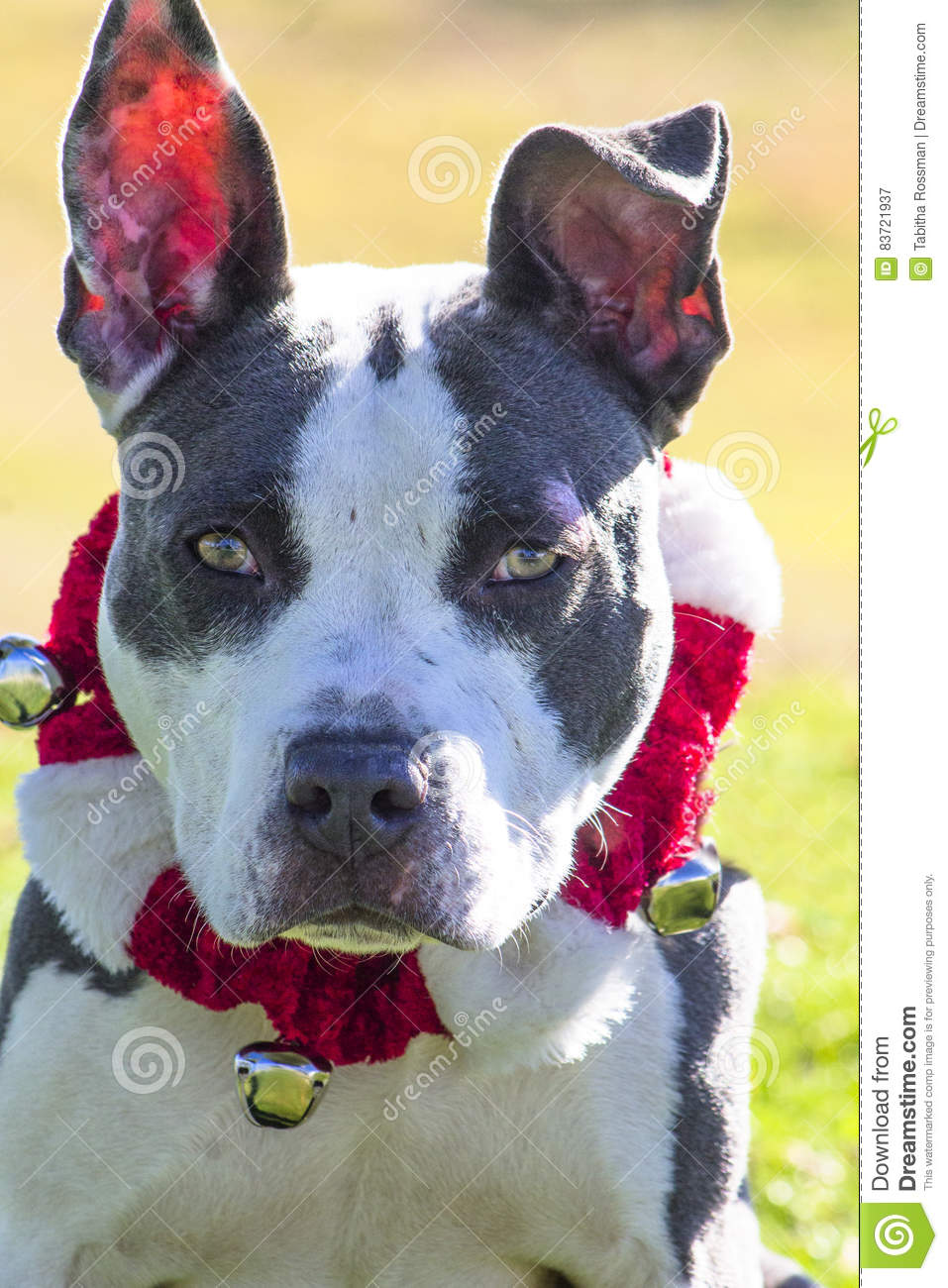 Pitty Pup With Bells Stock Photo