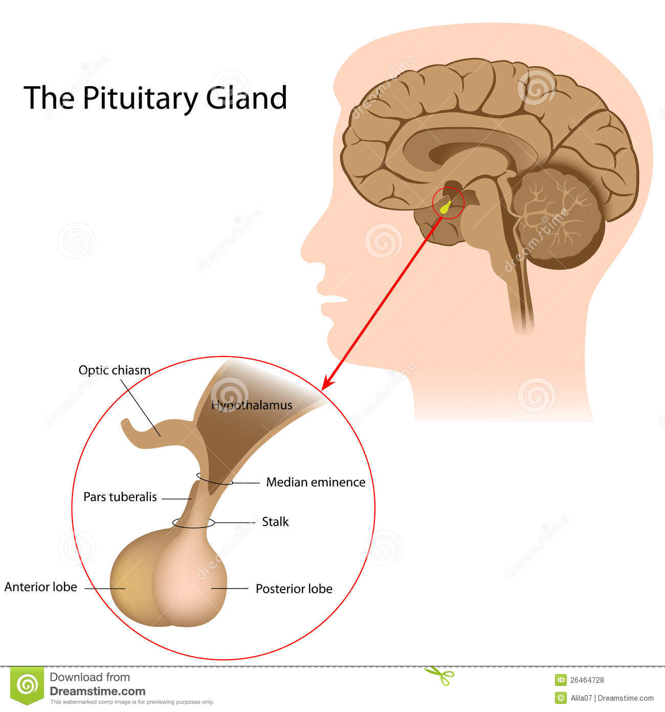 The Pituitary Gland Stock Vector Illustration Of Chiasm 26464728