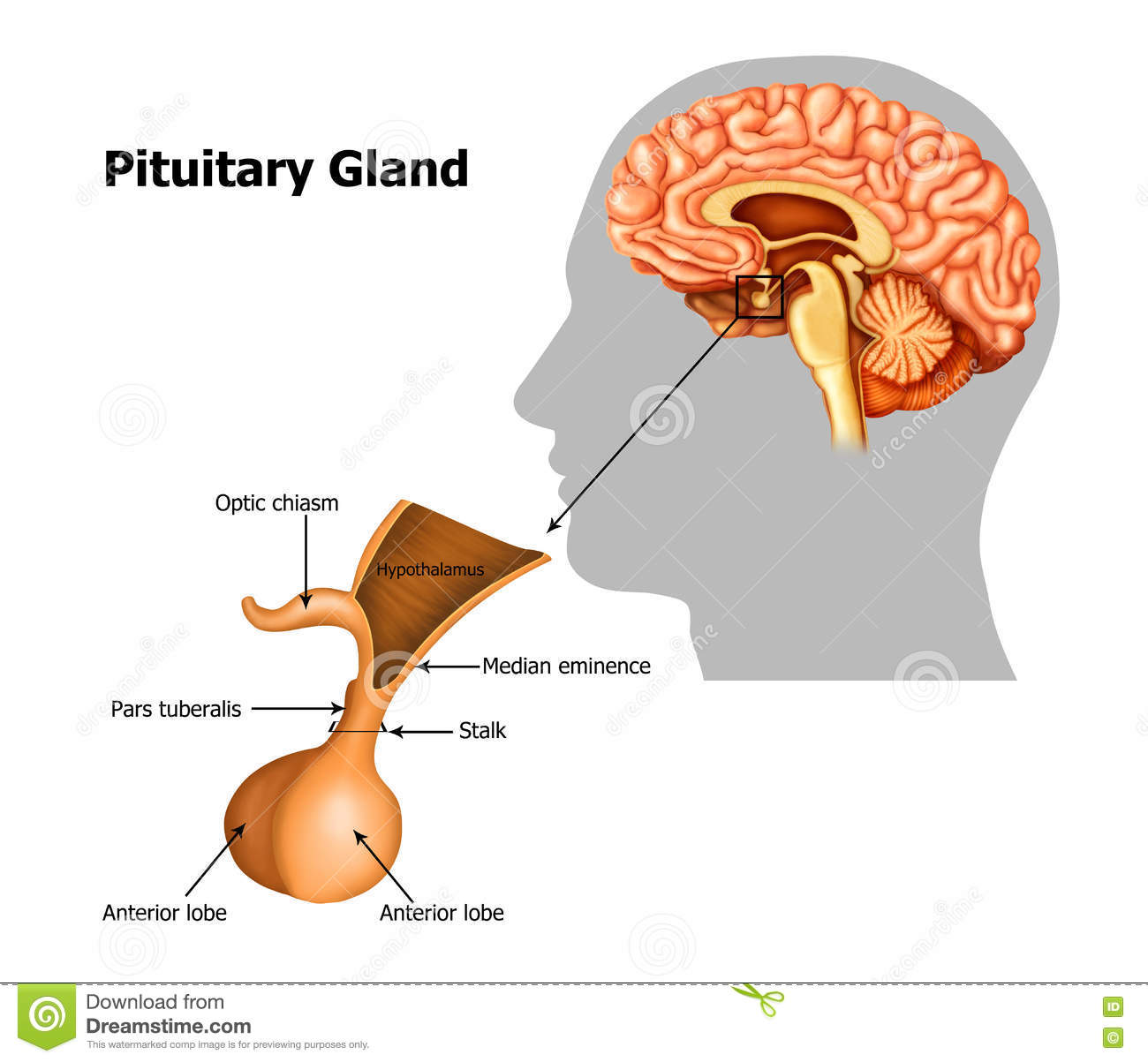 Pituitary-gland stock illustration. Illustration of lateral - 75699645