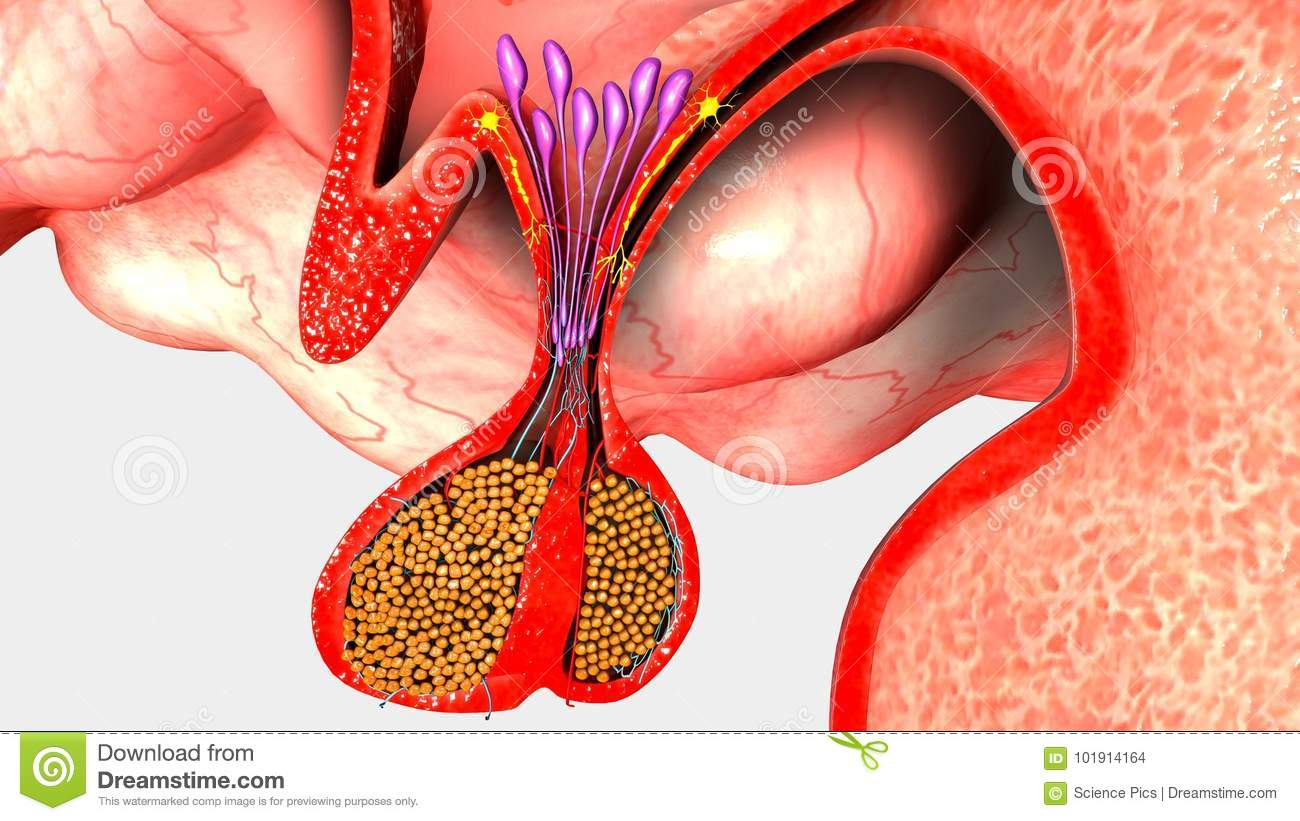 Pituitary Gland stock illustration. Illustration of pituitary ...