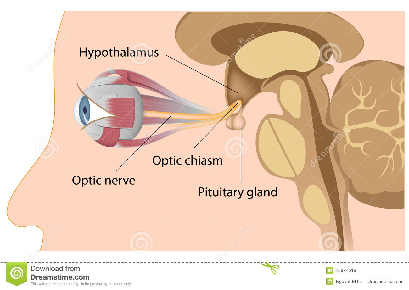 Pituitary Gland And Optic Chiasm Stock Vector Illustration Of