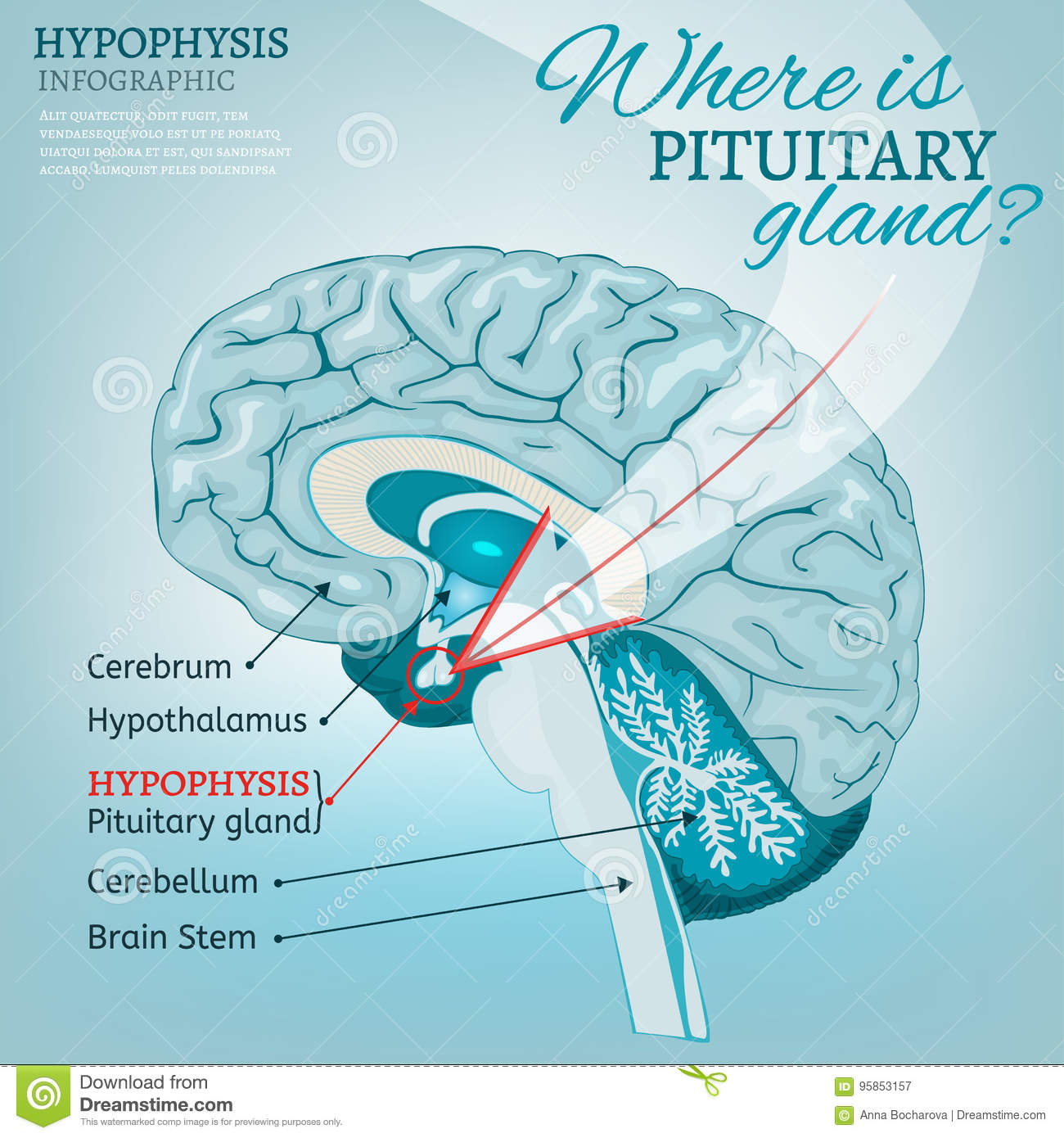 Pituitary gland vector stock vector. Illustration of brain - 95853157
