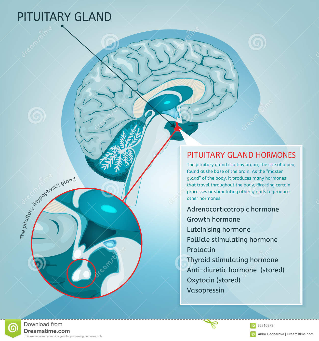 Pituitary gland vector stock vector. Illustration of head - 96210979