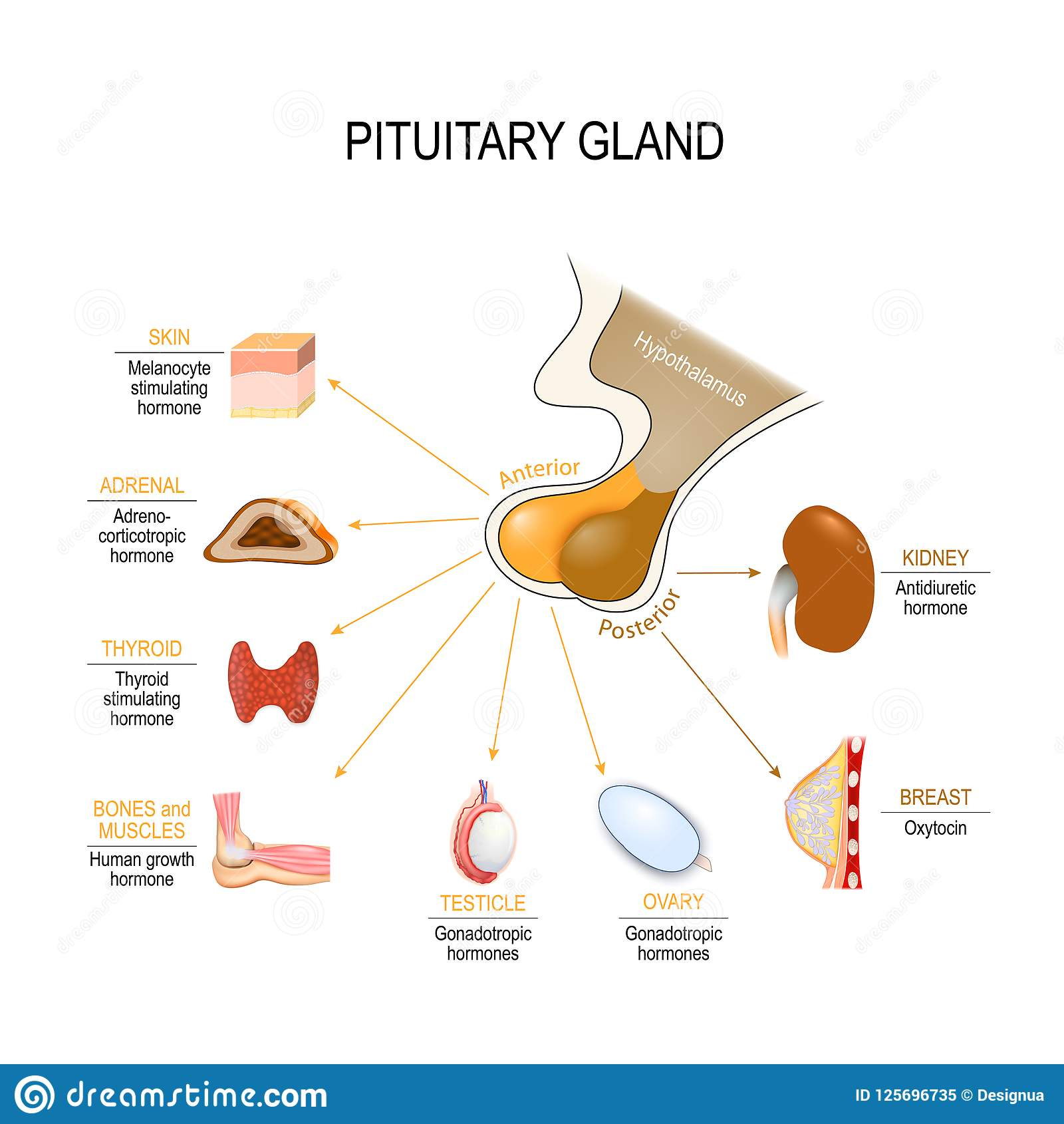 Pituitary Hormone Stock Vector Illustration Of Body 125696735