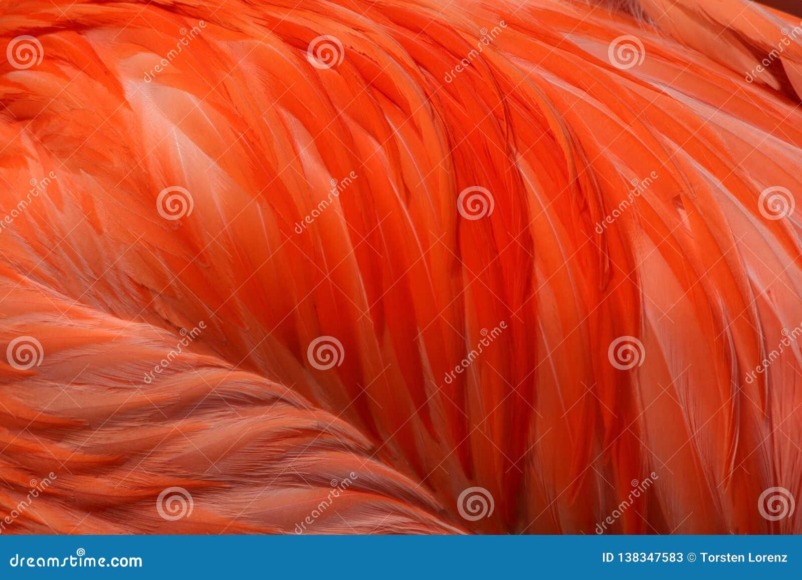 Piume rosa del fenicottero