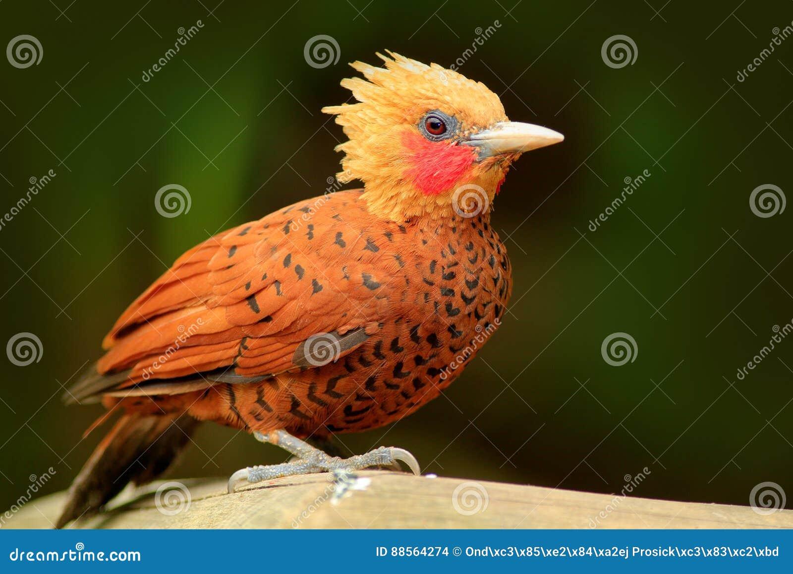 Pivert de couleur châtaigne, castaneus de Celeus, oiseau de pâté de cochon avec le visage rouge de Costa Rica Pivert avec la crêt