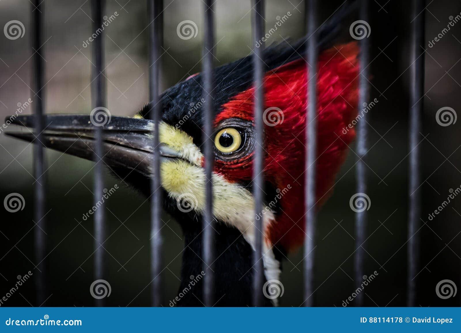 Pivert mis en cage