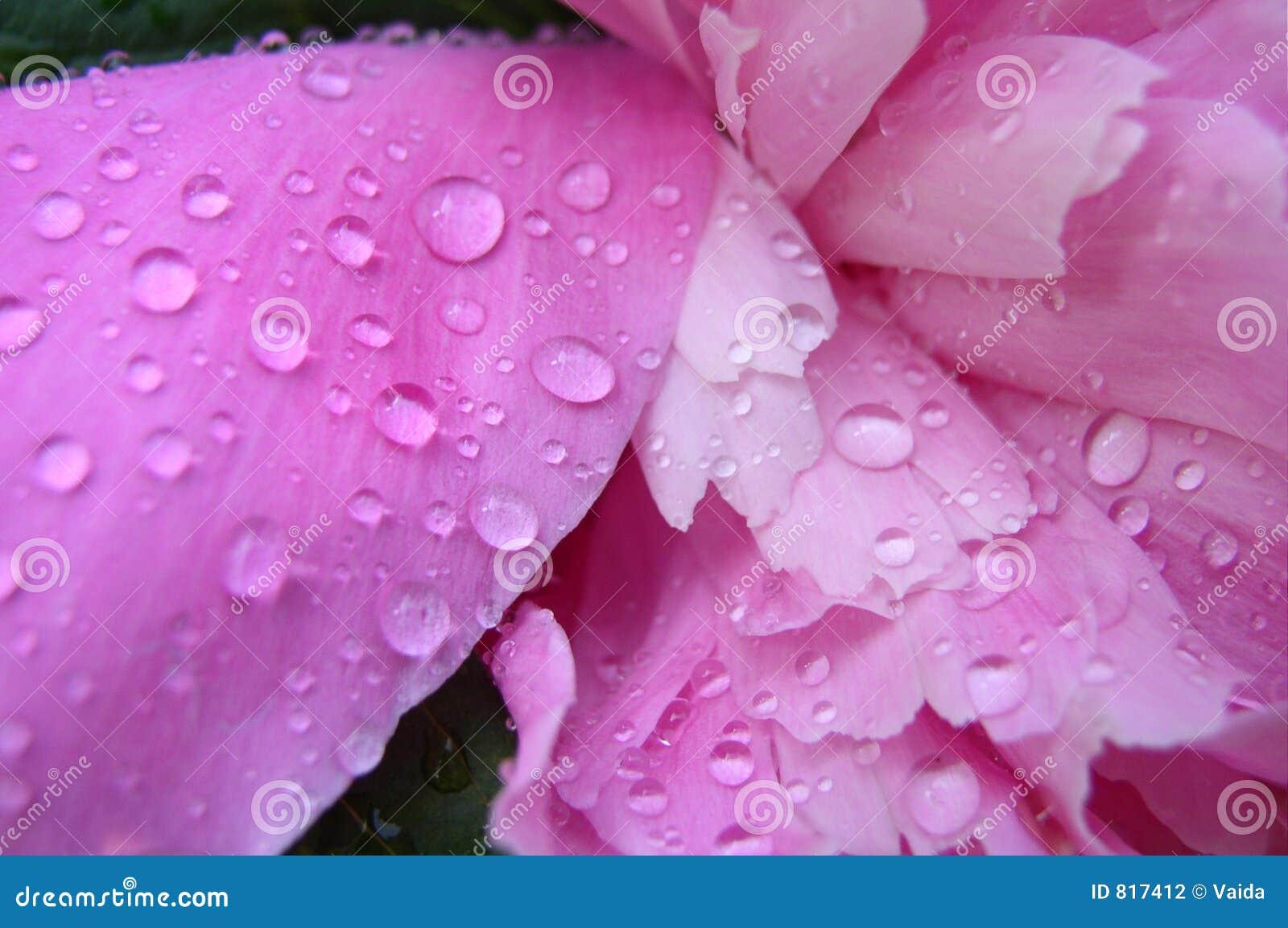 Pivoine avec des baisses de pluie