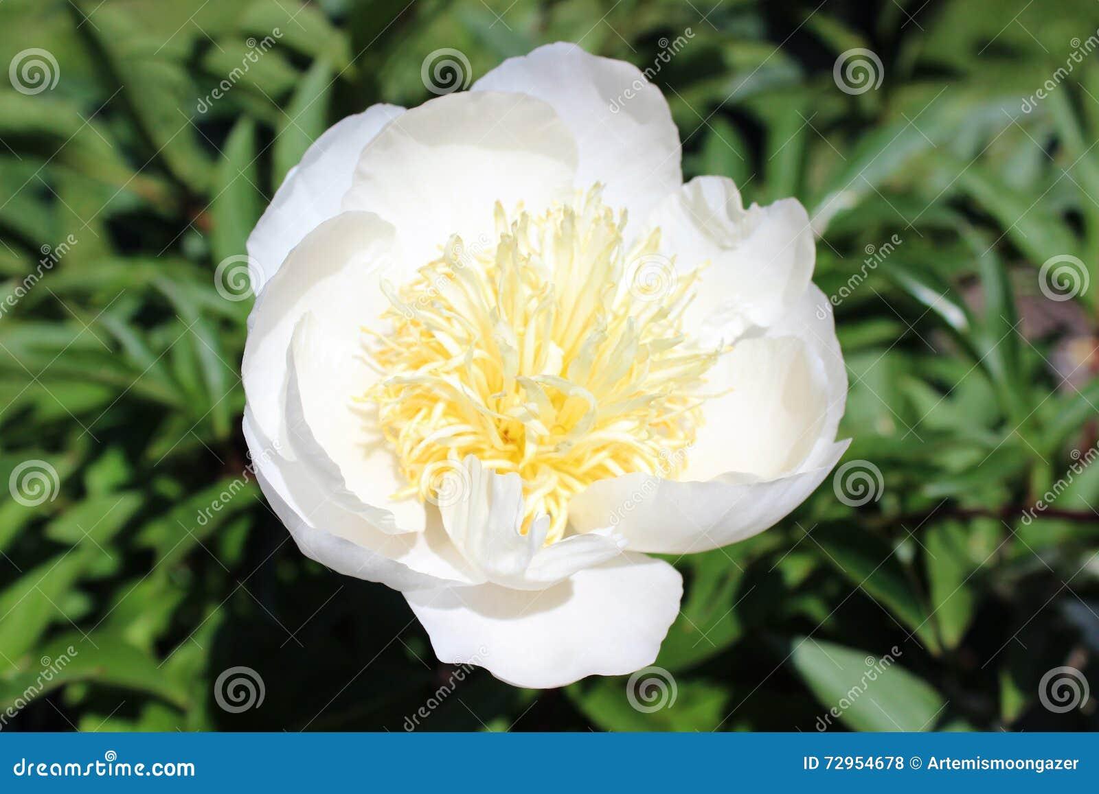 pivoine blanche simple, un macro plan rapproché photo stock - image
