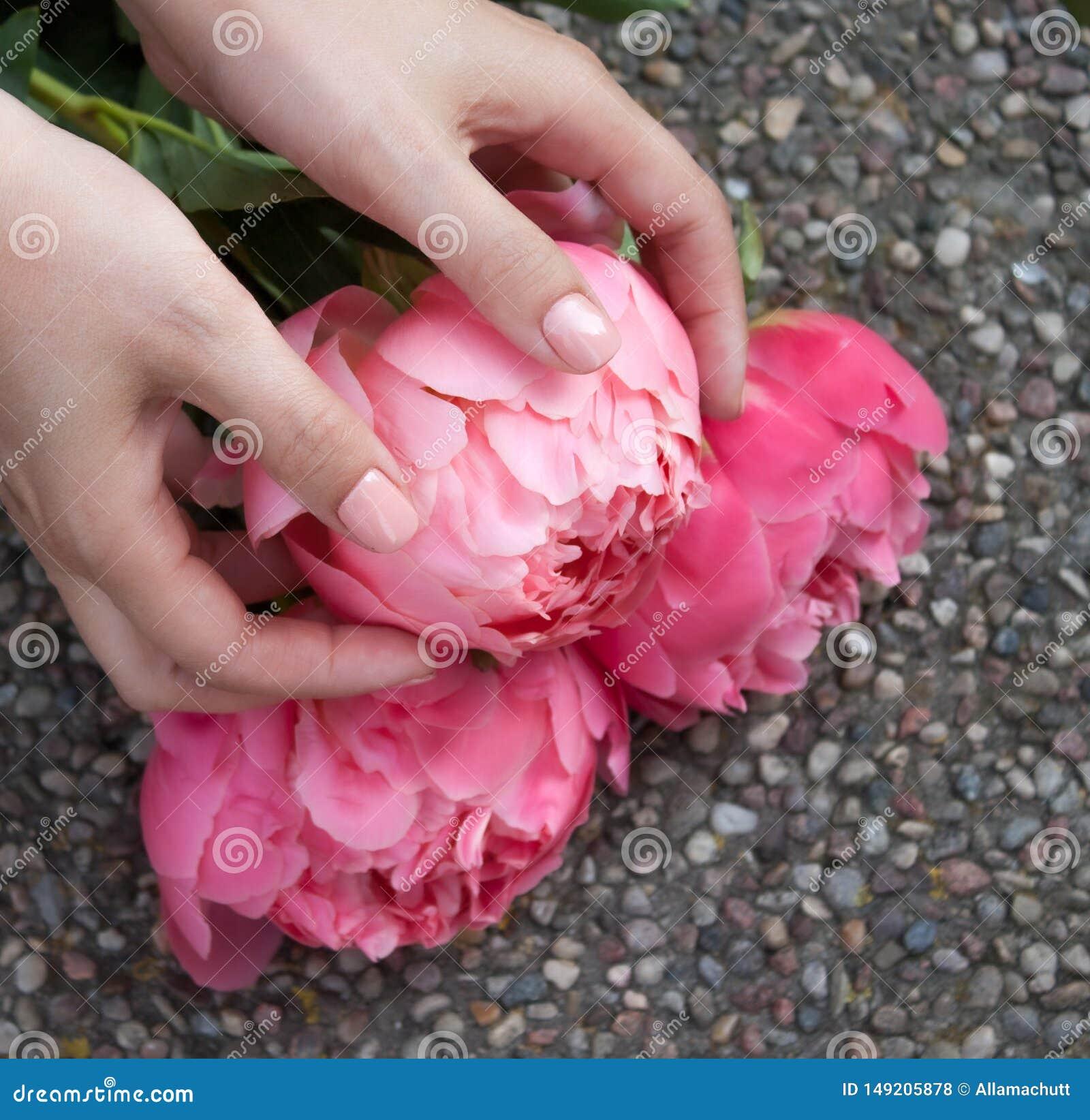 Pivoine fleurie rose dans des mains