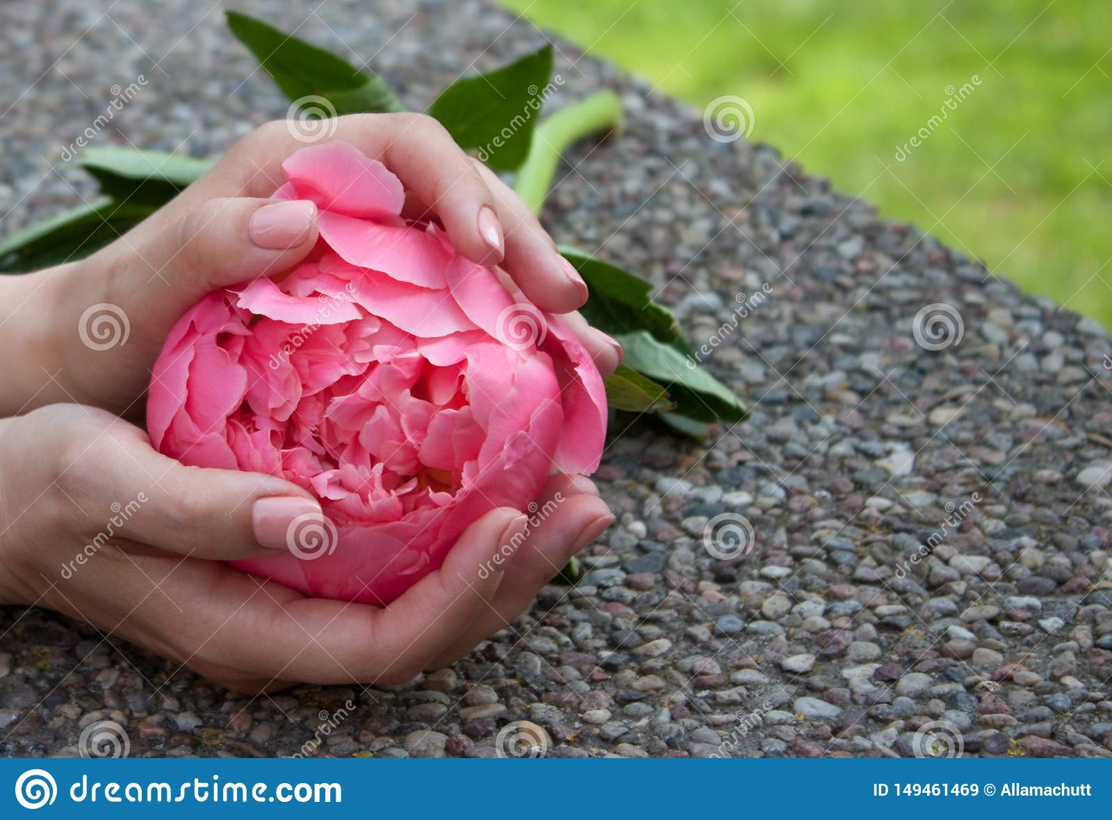 Pivoine rose dans des mains
